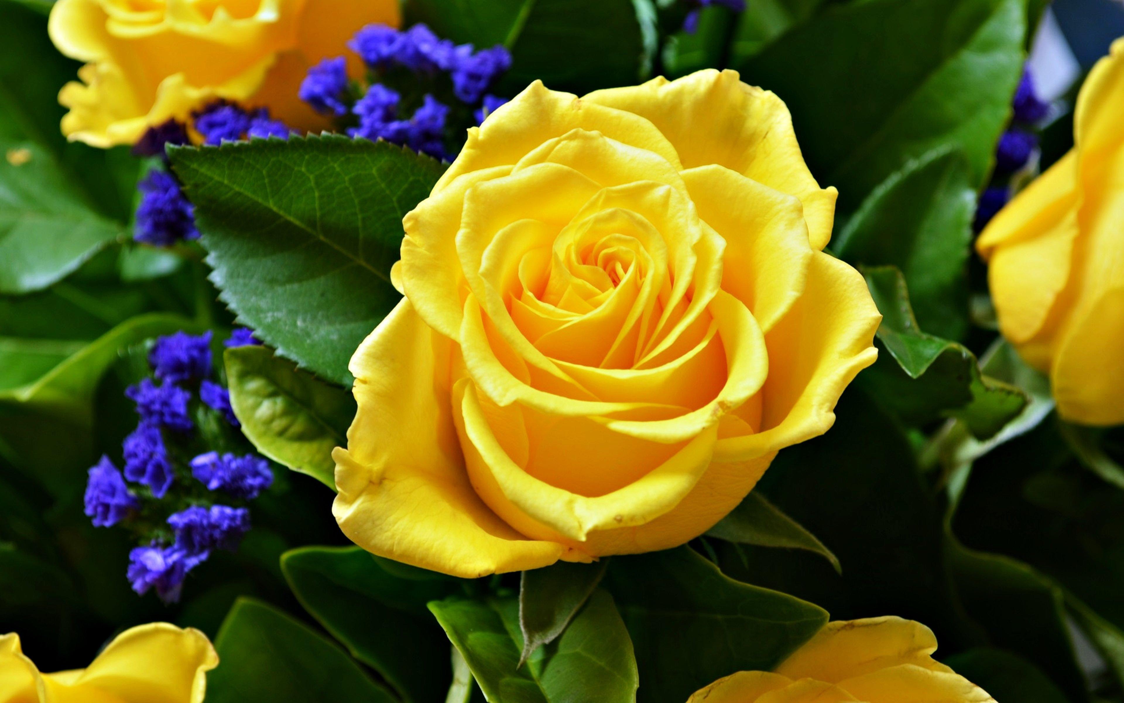 Wallpaper 3840x2400 Px Flower Life Love Rose Yellow