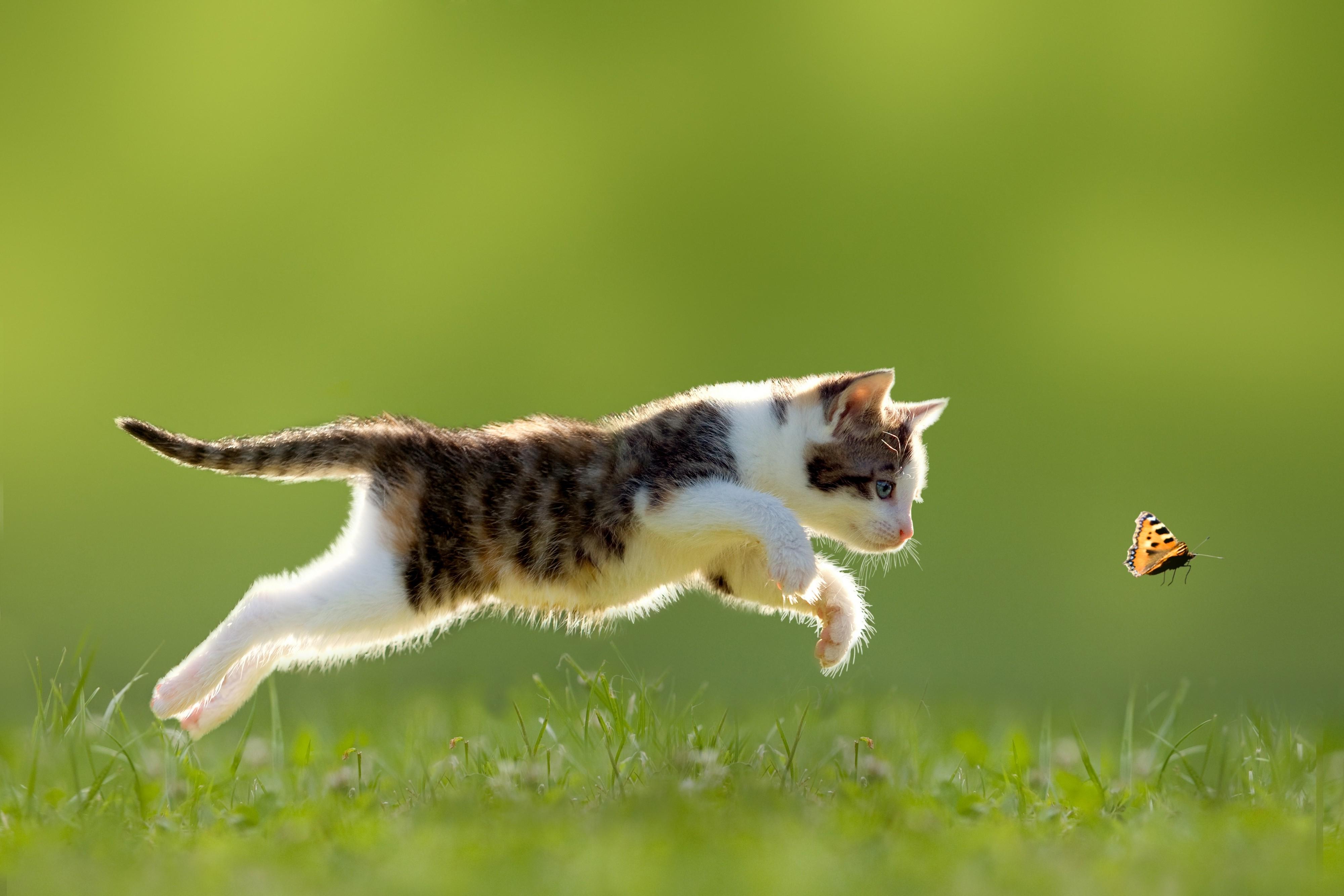 Best Wallpaper Cat Butterfly - 4000x2667-px-animals-baby-animals-butterfly-cats-depth-of-field-grass-kittens-nature-running-750255  2018_194758 .jpg
