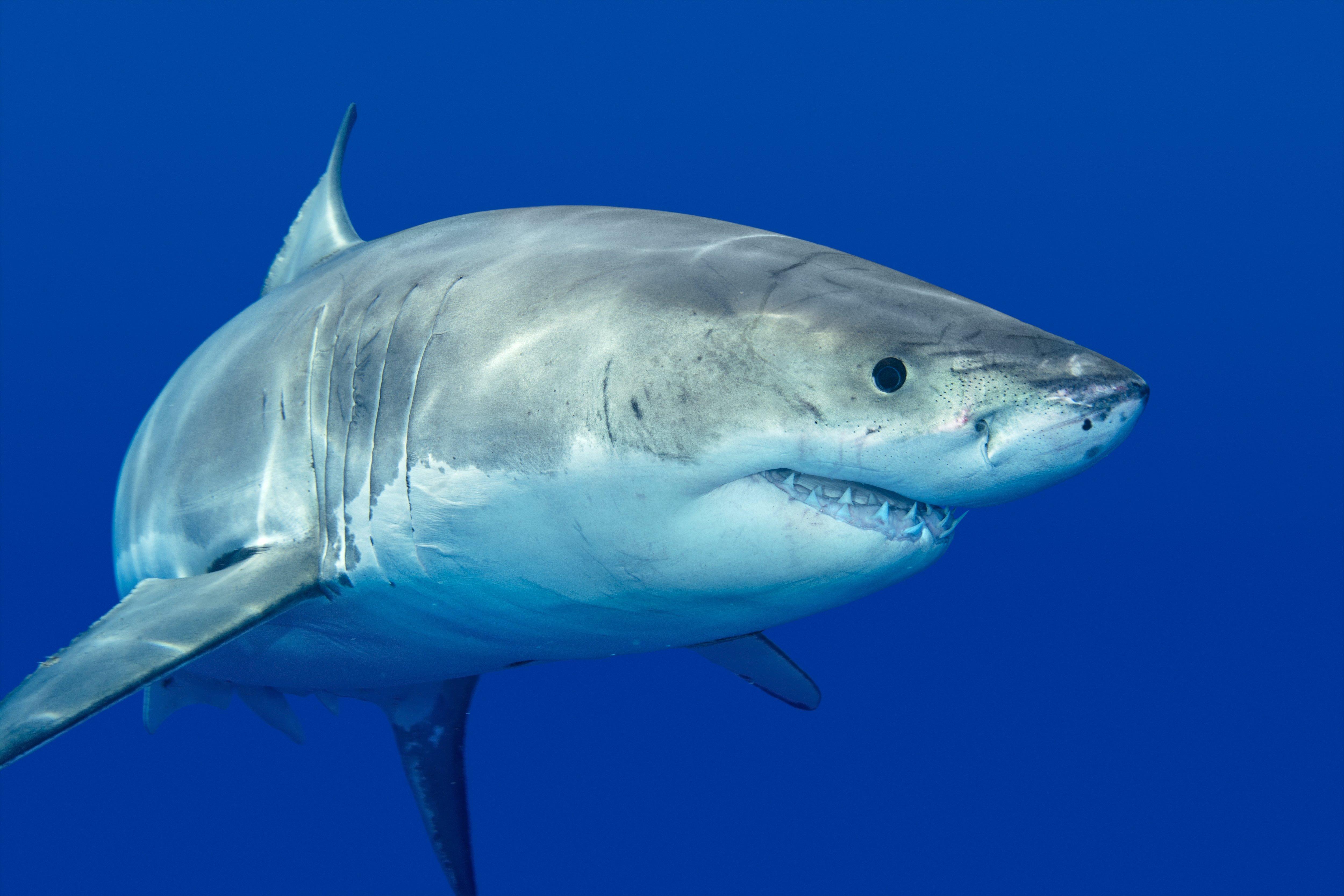 デスクトップ壁紙 5000x3333 Px 動物 サメ 5000x3333 Wallup