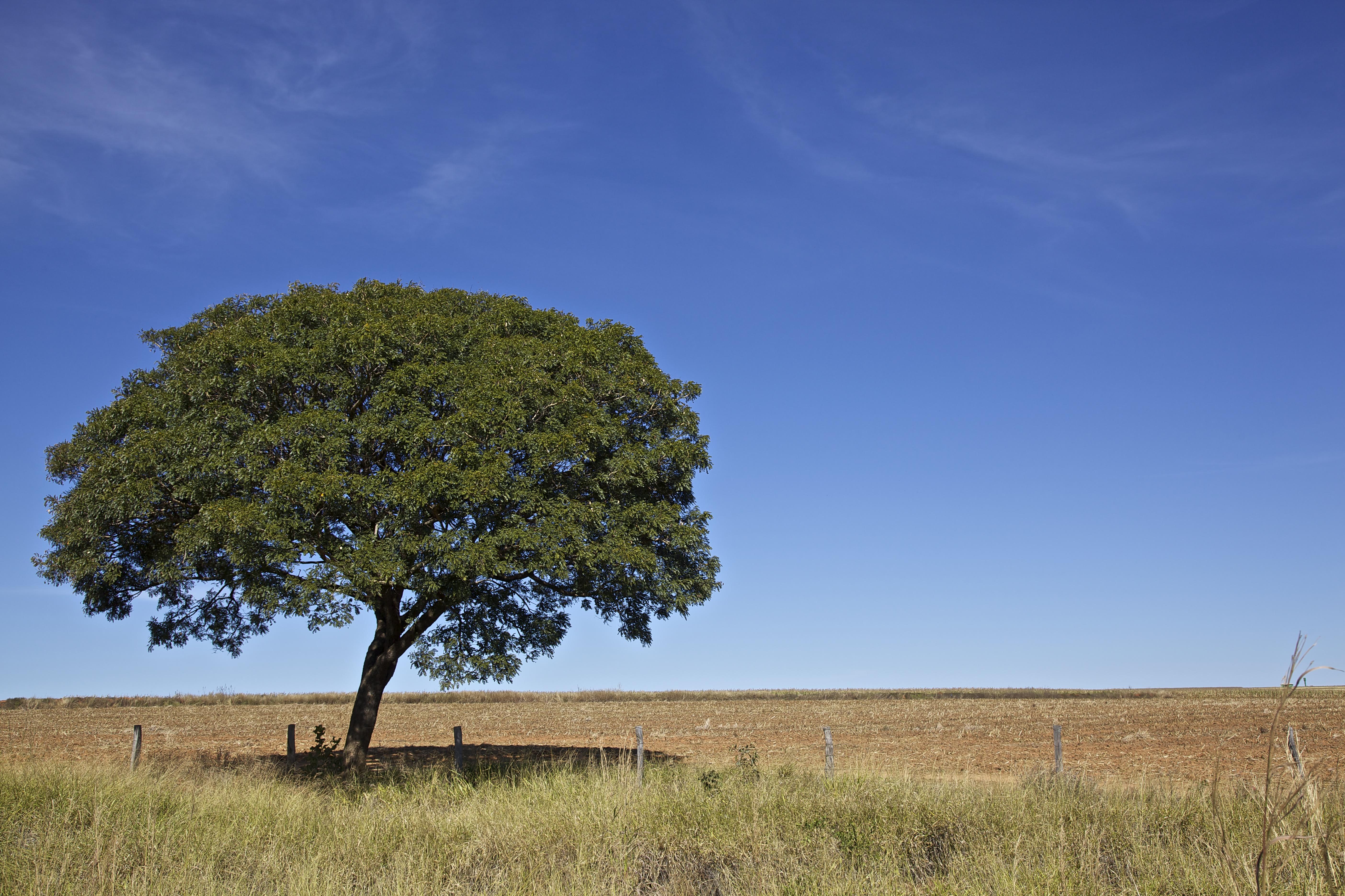 деревья южной америки фото любую непогоду