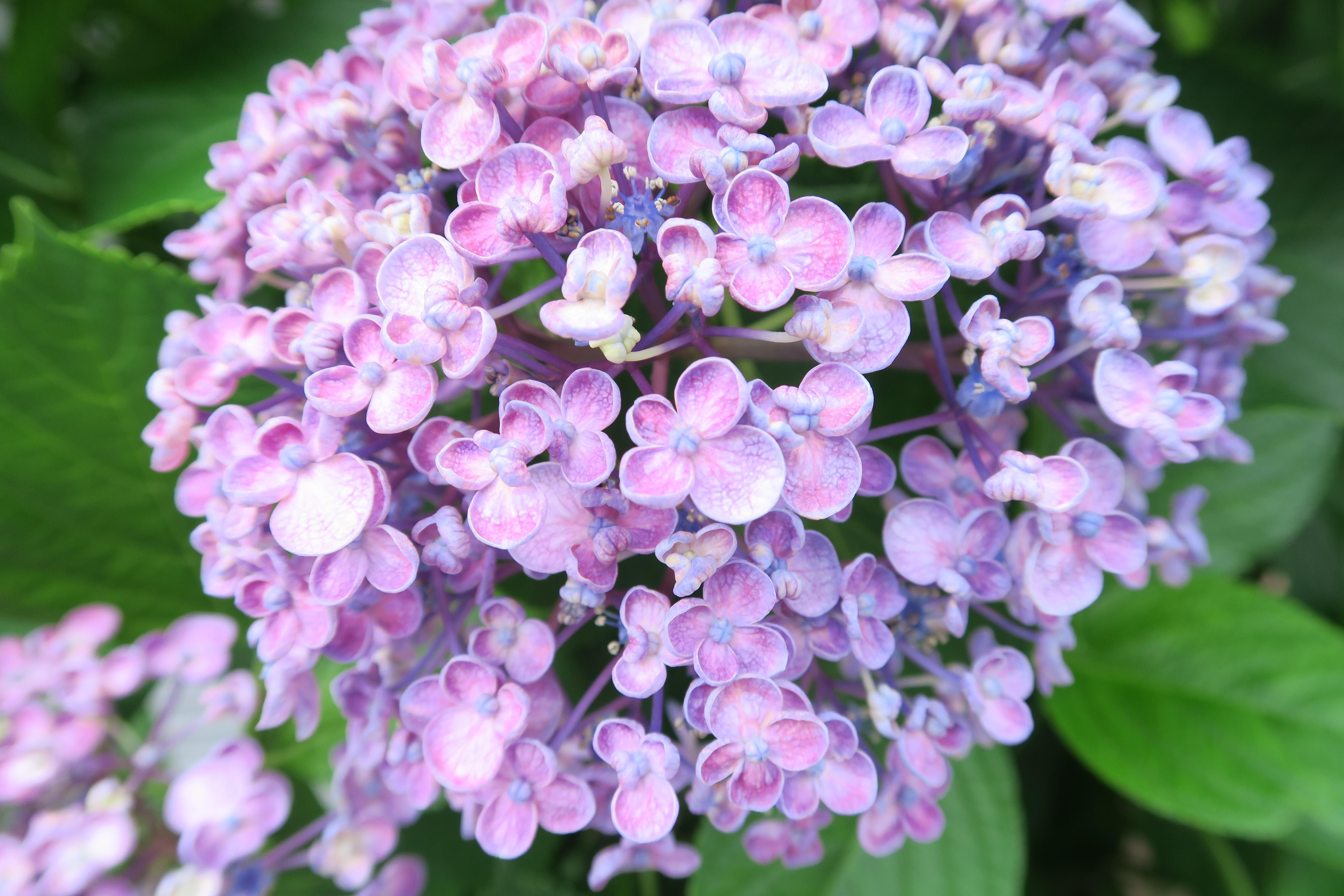 Baggrunde Canon Blomst Tokyo Hortensia Flora Powershot G7x