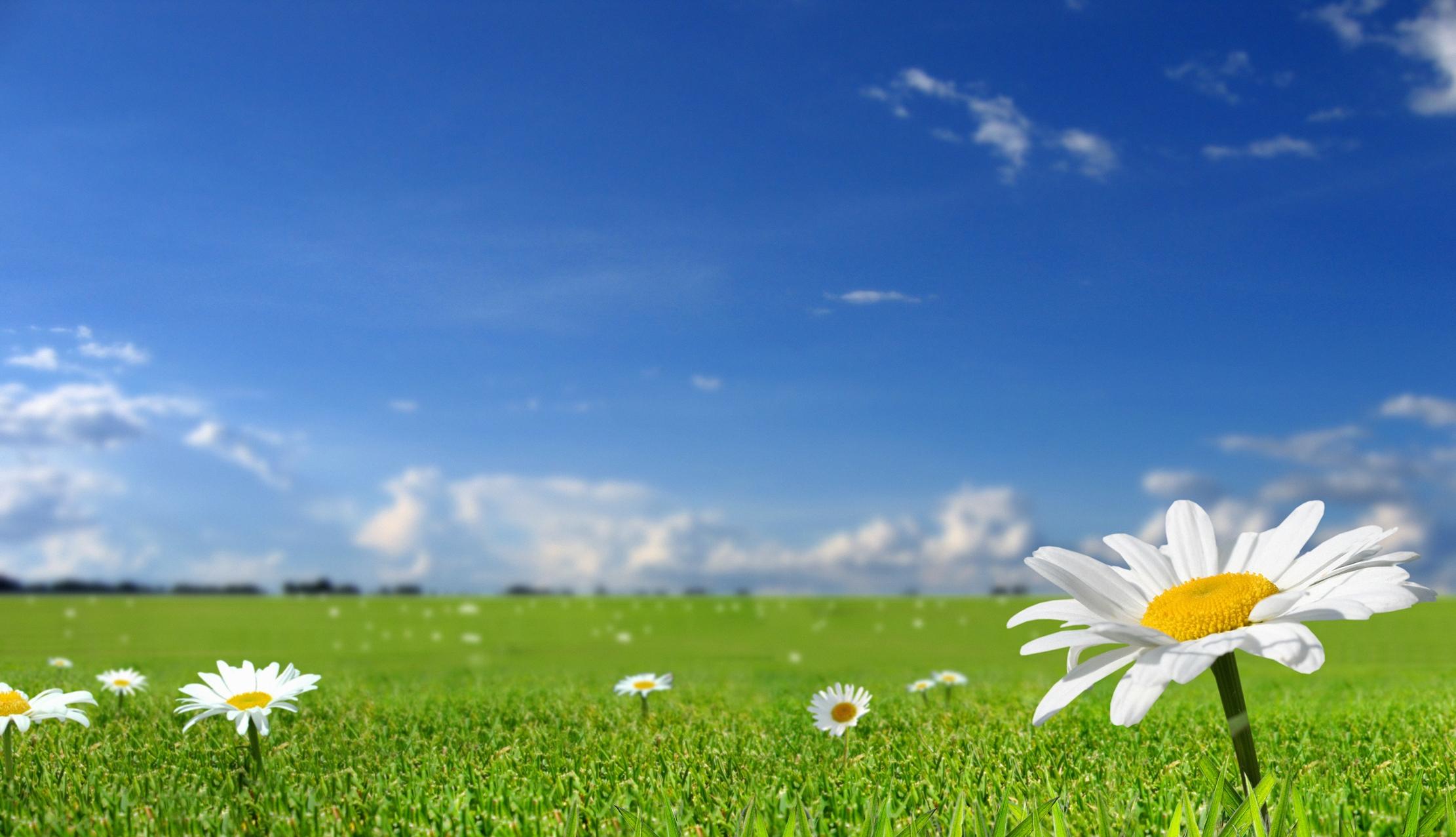 Wallpaper : Chamomile, field, sky, nature, Sun, grass ...