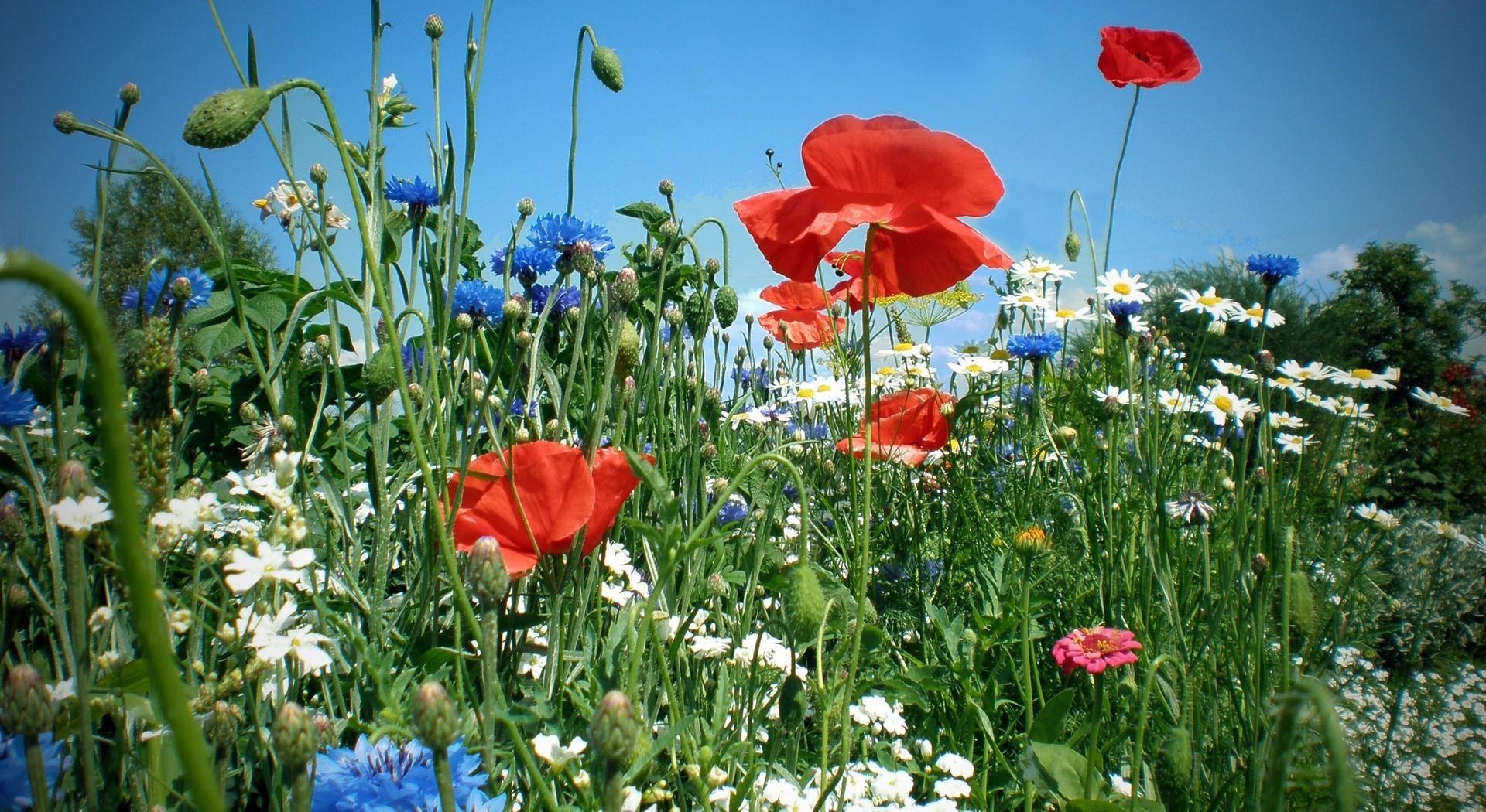 картинки : поле, Красный, Маки, пейзаж, Зеленый, лето, задний план ...   1050x1920