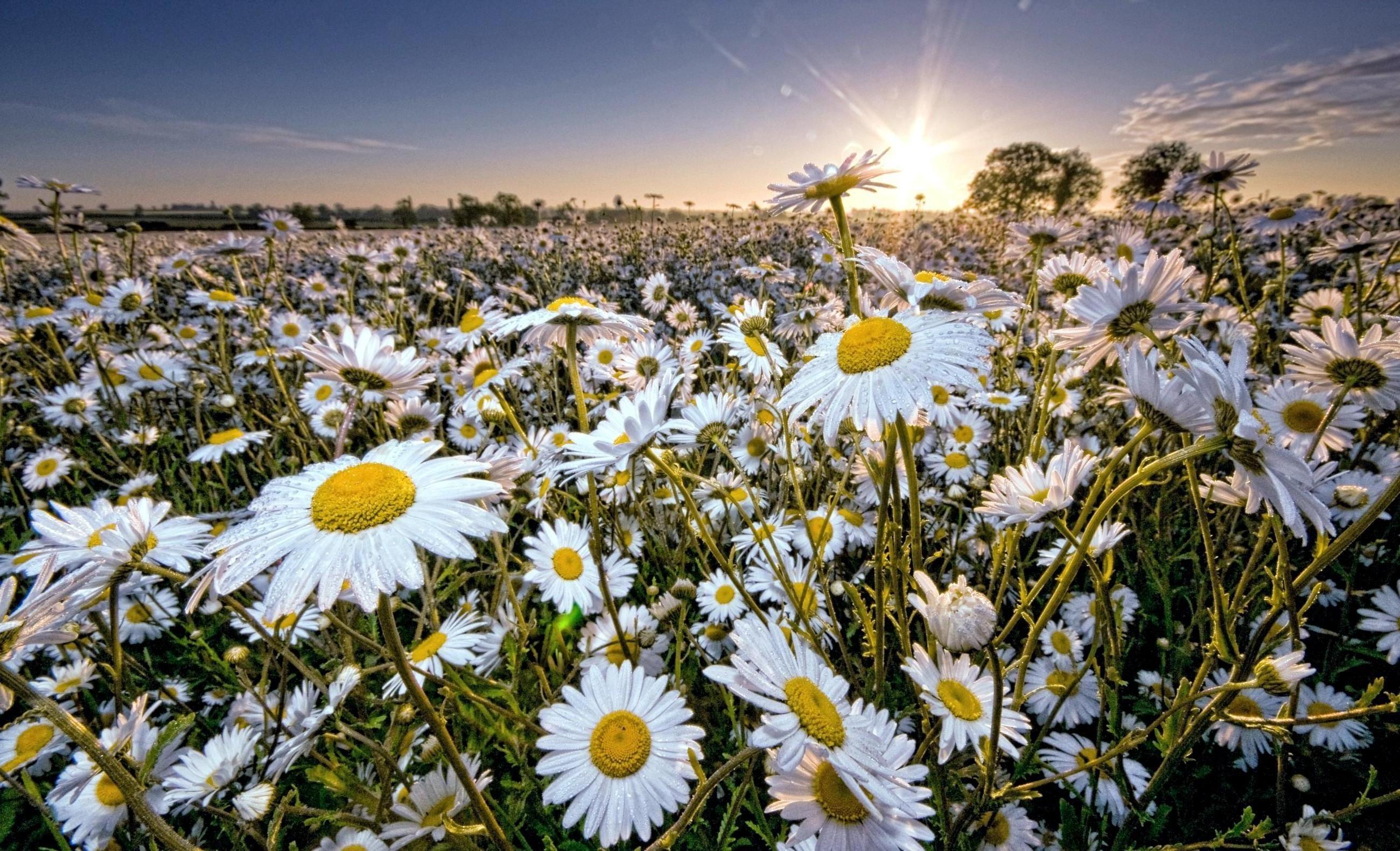 Fond d'écran : Marguerite, champ, Soleil, des rayons, ciel ...