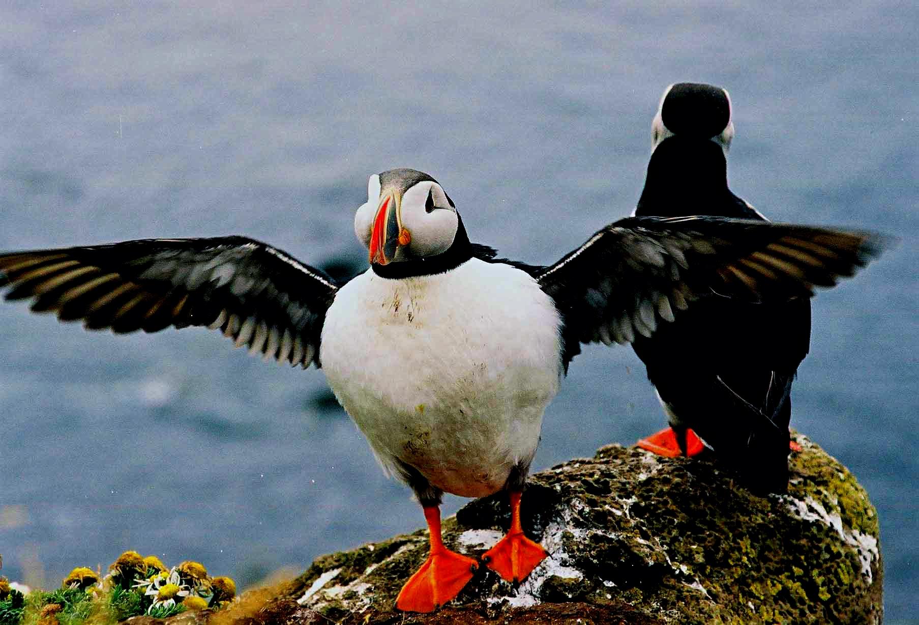 Island Vogel