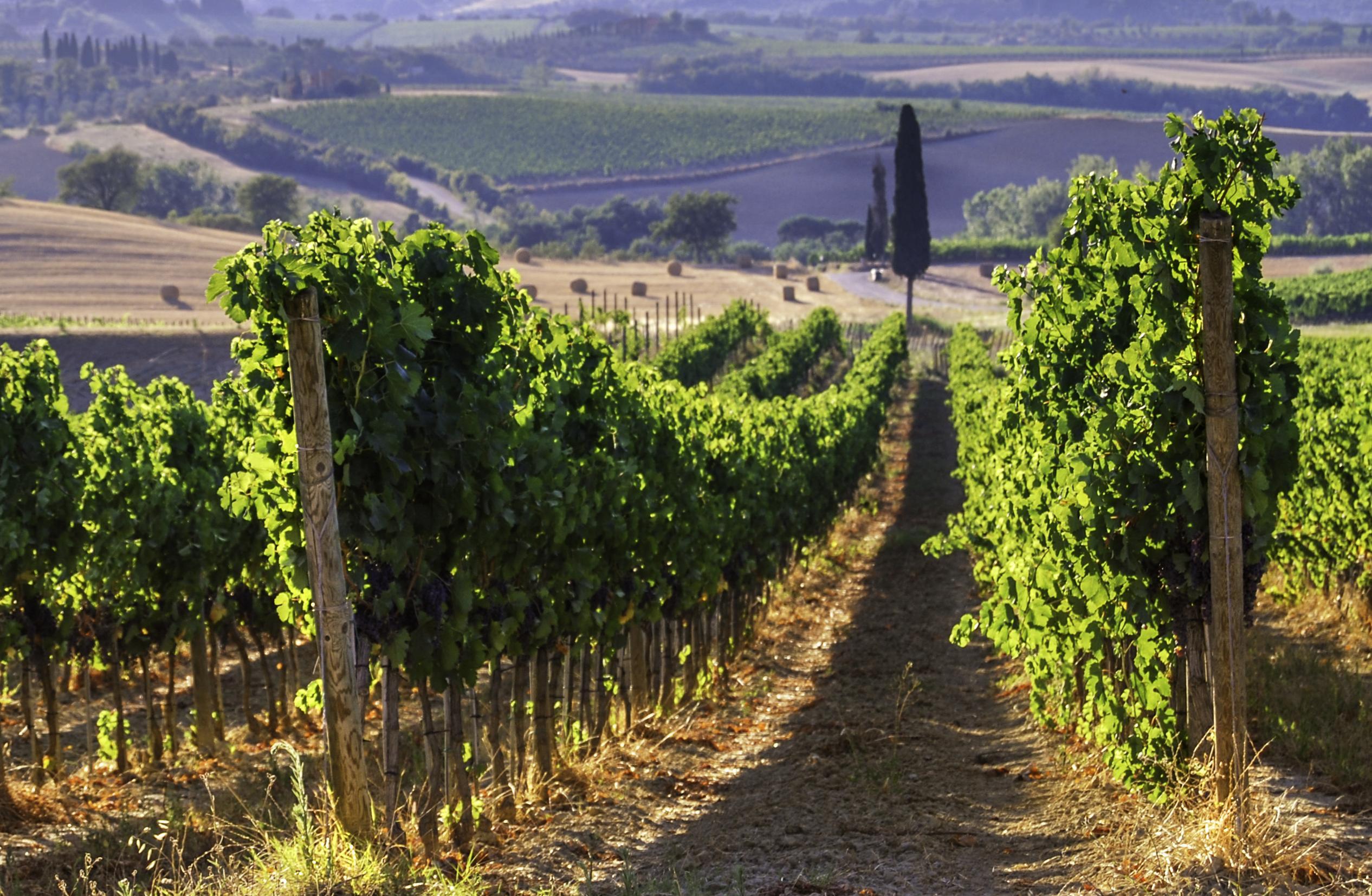 под вагонку итальянские виноградники фото такие глаза
