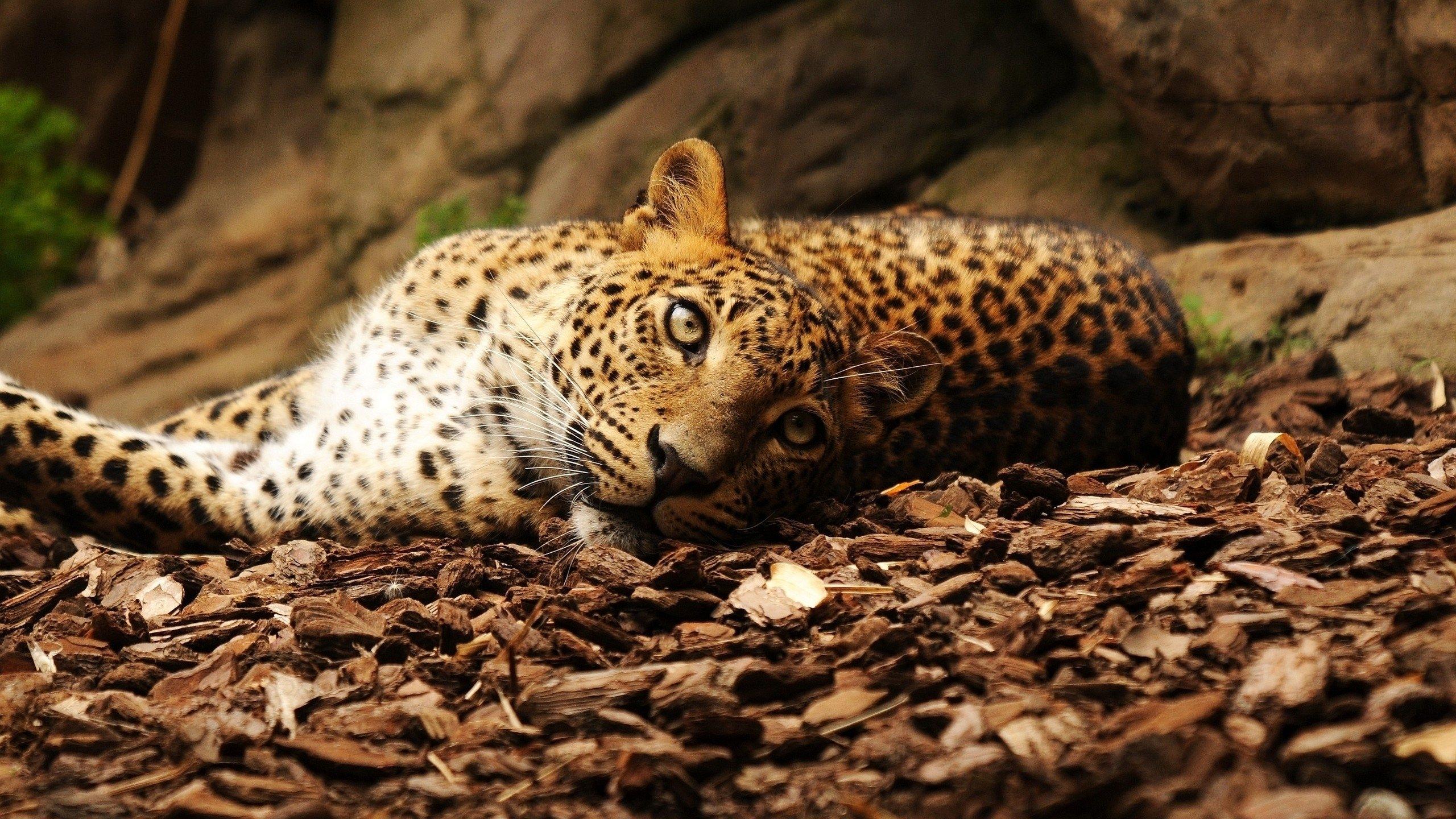 Jaguar foliage big cat spotted