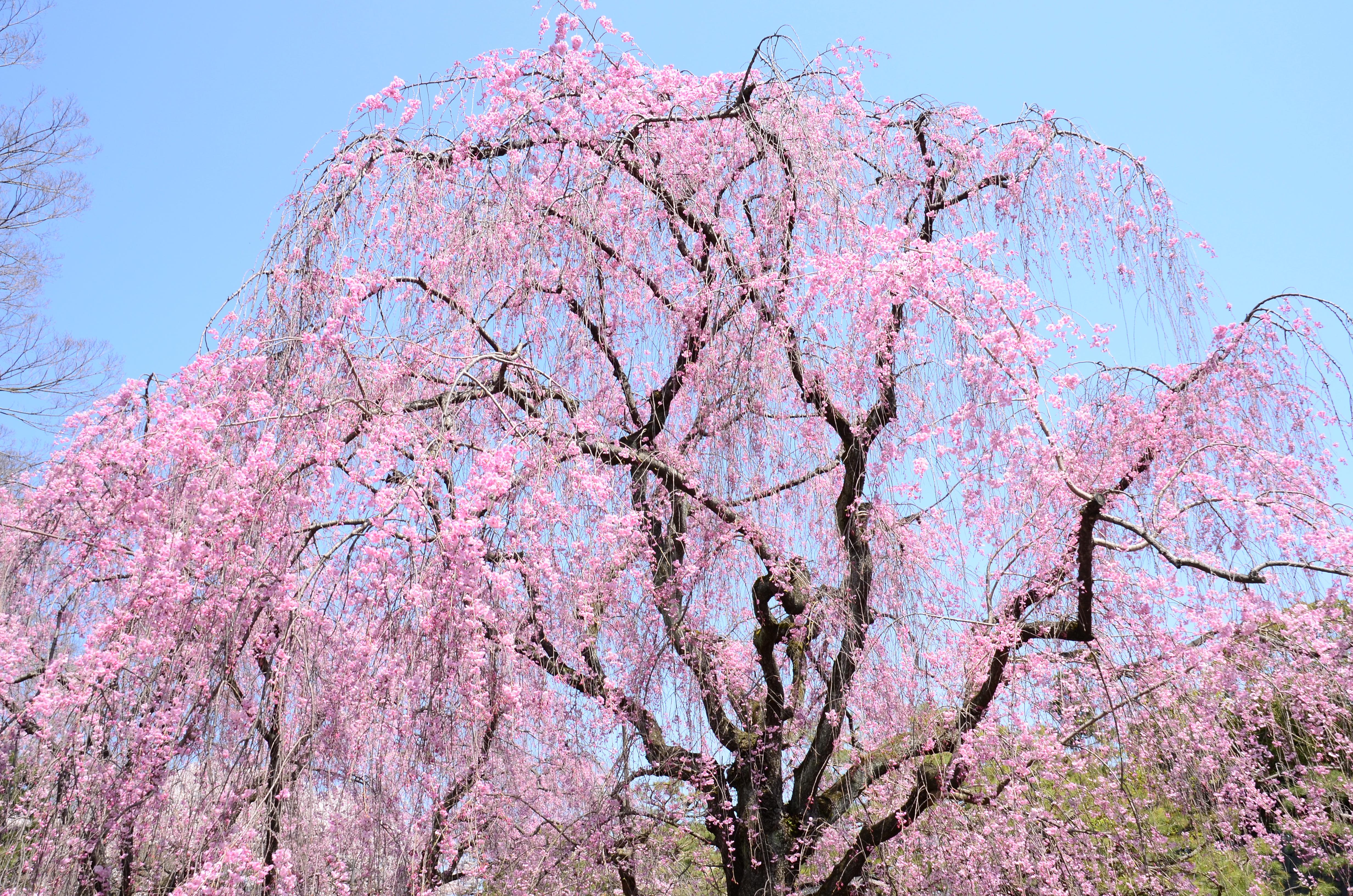 Sfondi giappone ramo fiore di ciliegio nikon fiorire for Pianta di ciliegio