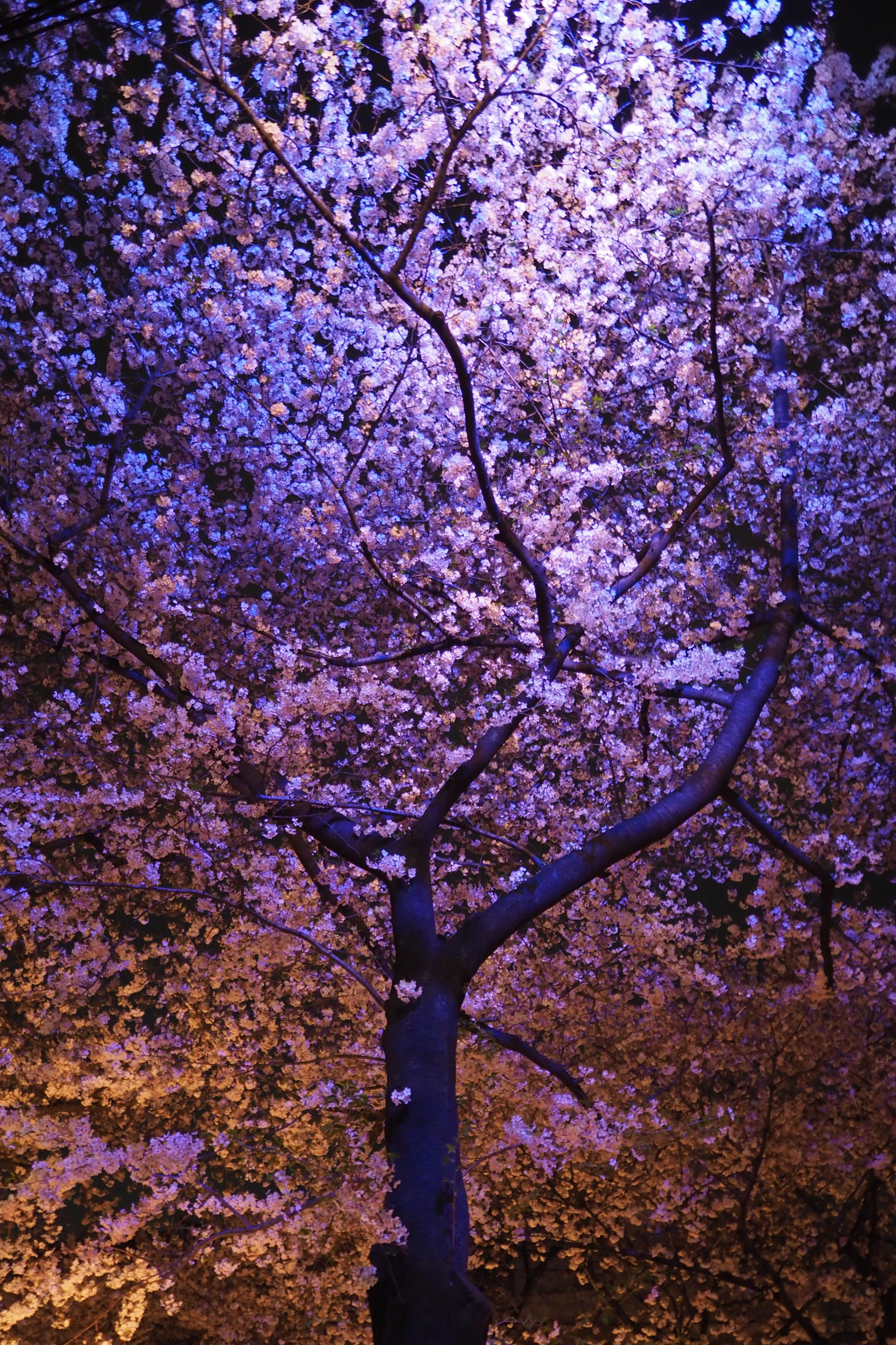 Tapety Japonia Gałąź Kwiat Wiśni Kwitnąć Długopis