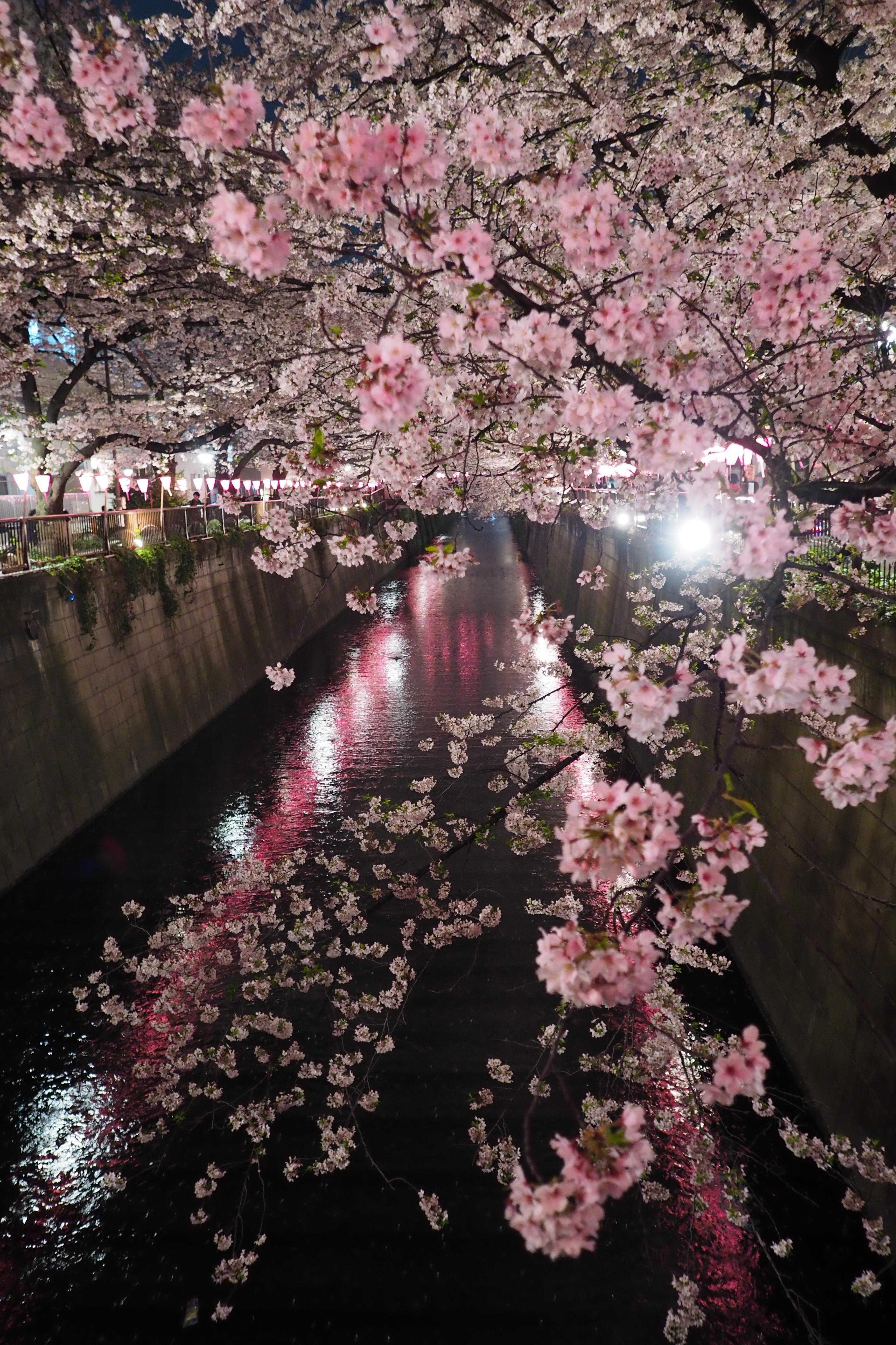 Fond d cran arbres en fleurs - Arbre rose japon ...