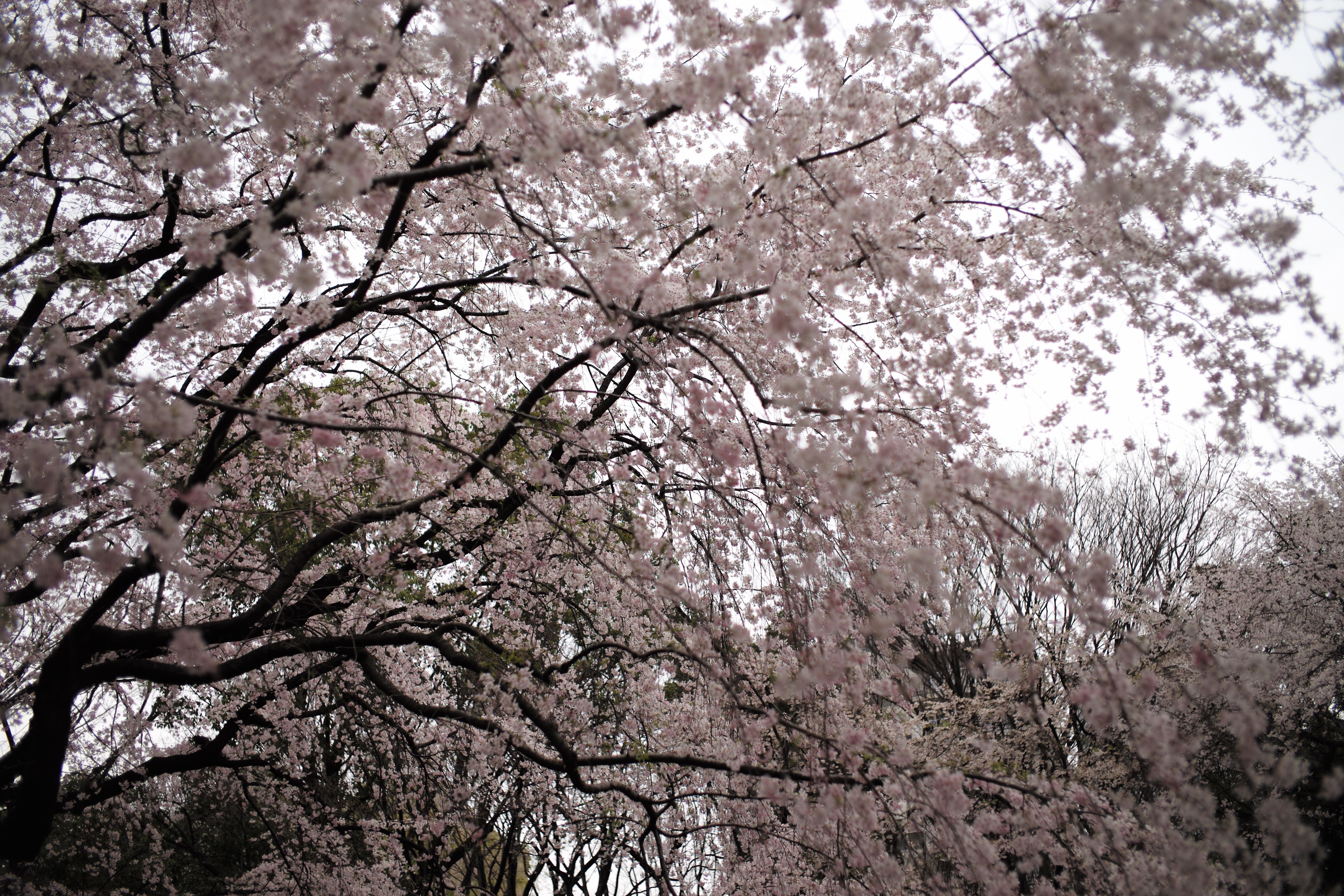 fondos de pantalla japà n rama flor de cerezo primavera leica