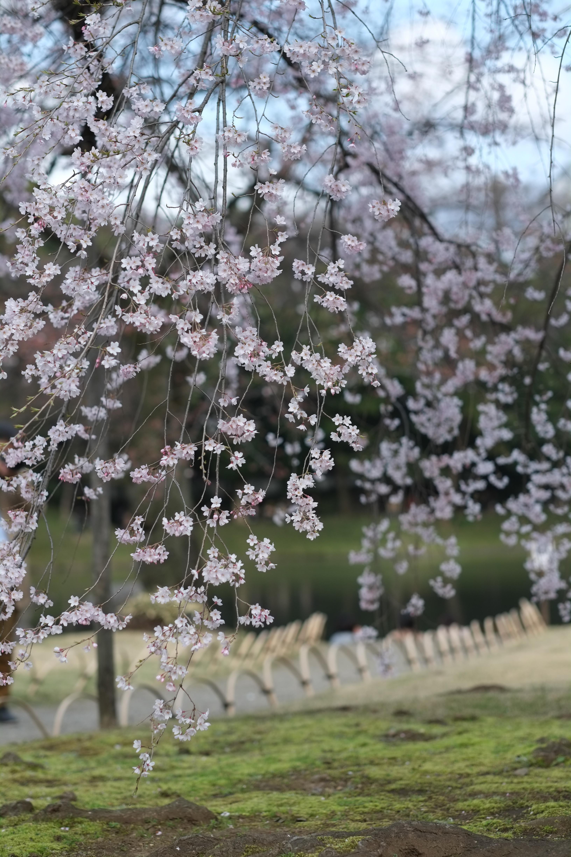 Fond D Ecran Japon Branche Fleur De Cerisier Printemps Tokyo