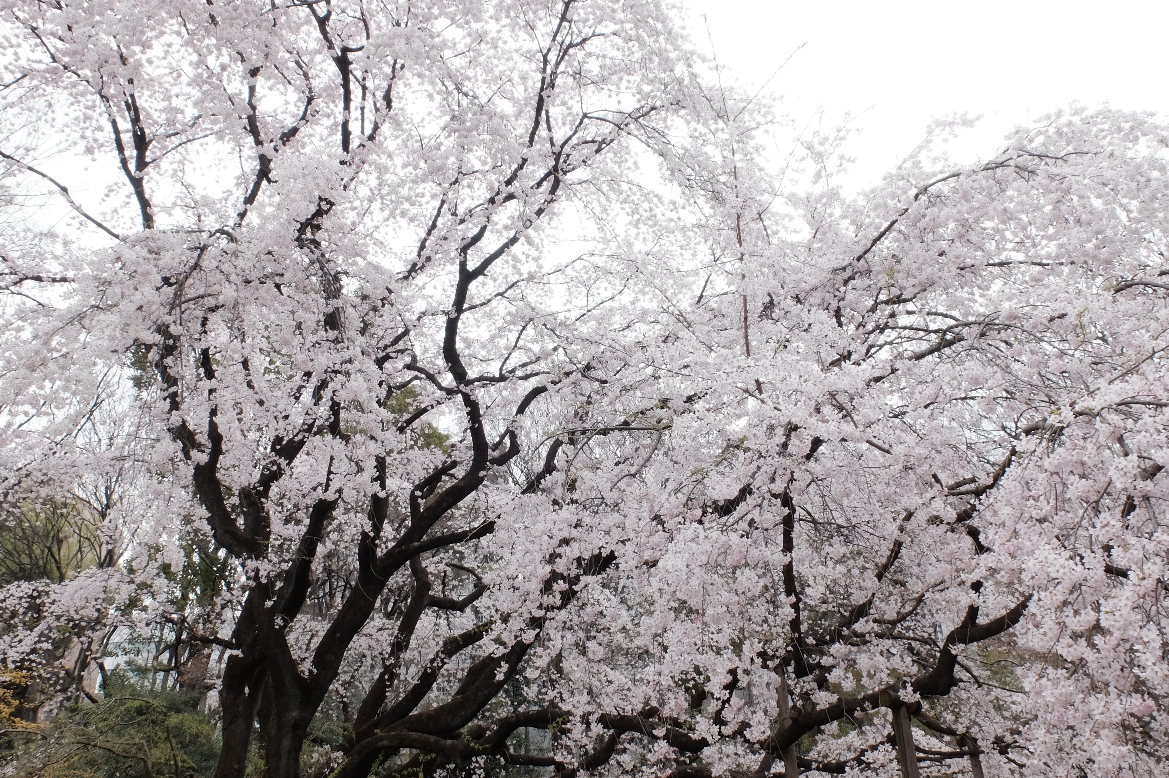 Sfondi giappone ramo fiore di ciliegio fiorire for Pianta di ciliegio