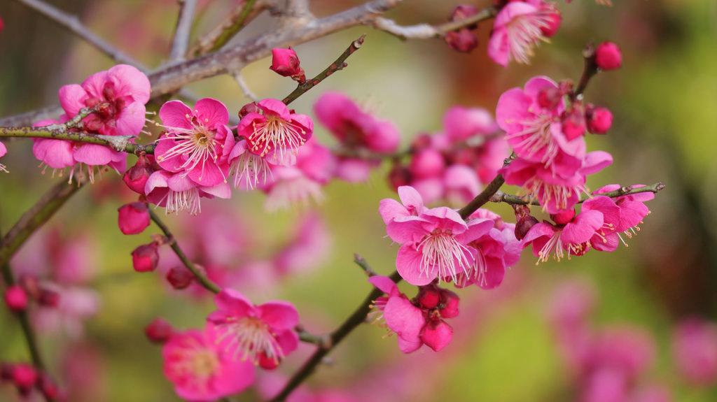 fond d 39 cran japon branche triangle canon fleur de cerisier japonais rose printemps. Black Bedroom Furniture Sets. Home Design Ideas