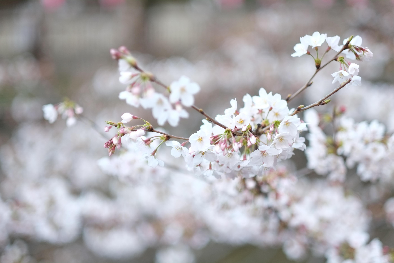 branche fleur de cerisier branche fleur de cerisier fleurs fleur de cerisier en gros cerise. Black Bedroom Furniture Sets. Home Design Ideas