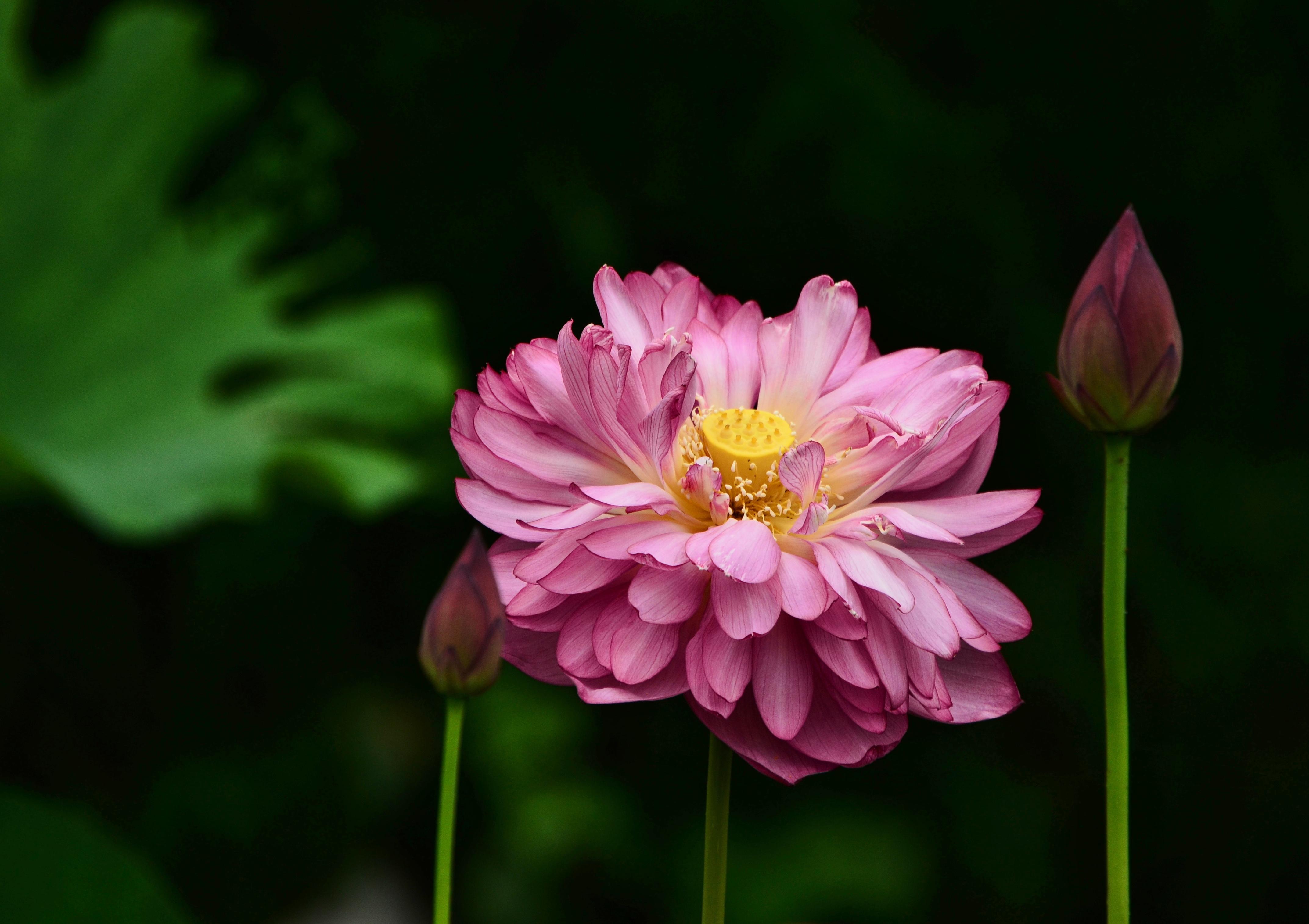 Fond D Ecran Japon Jardin Fleur Rose Dahlia Flore