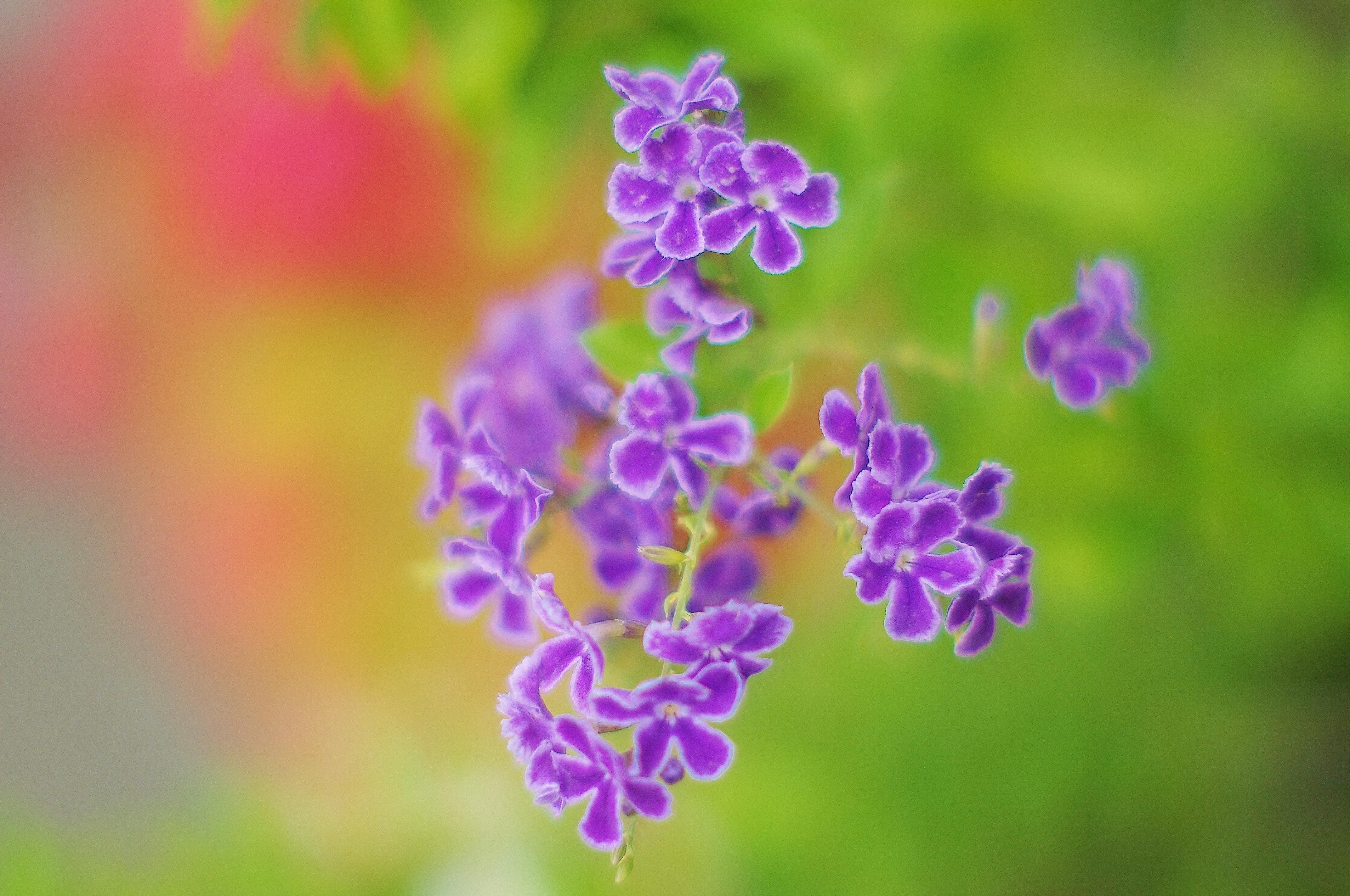 Hình nền : Nhật Bản, vườn, Hoa oải hương, Cây cỏ, thực vật ...