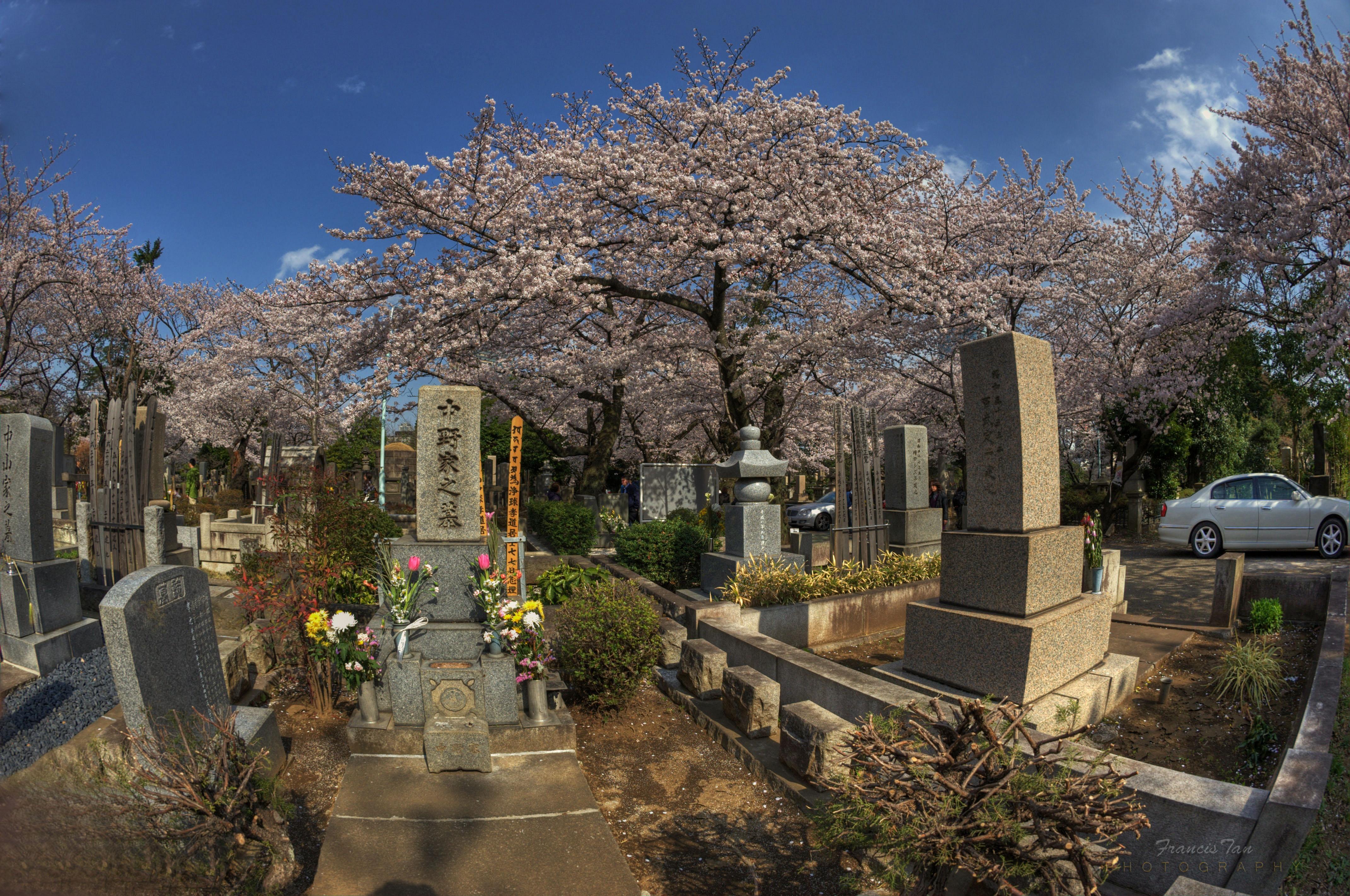 Unduh 900 Wallpaper Bunga Sakura Full Hd HD Gratis