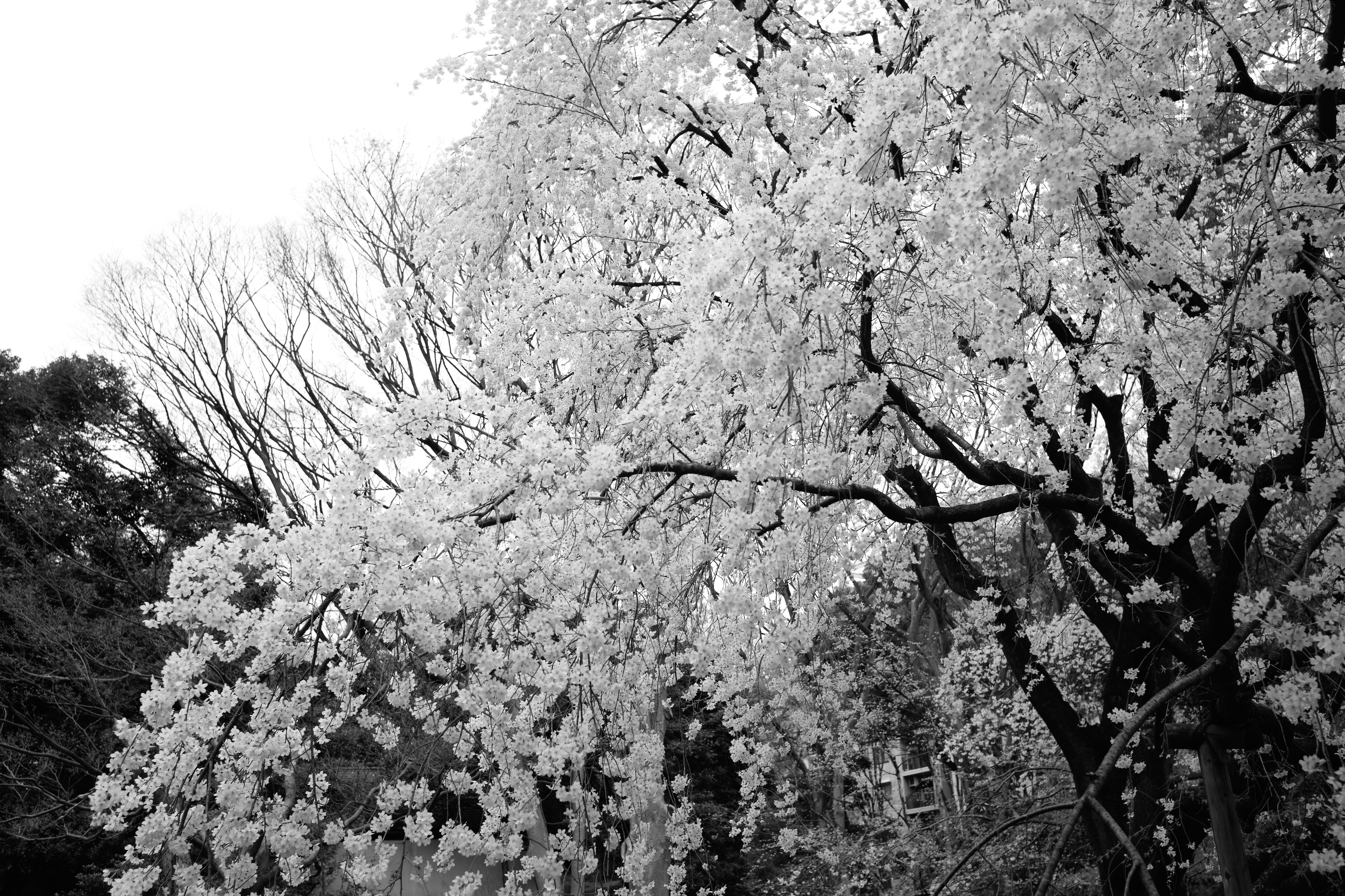 Fond D Cran Japon Monochrome Branche Gel Fleur De Cerisier