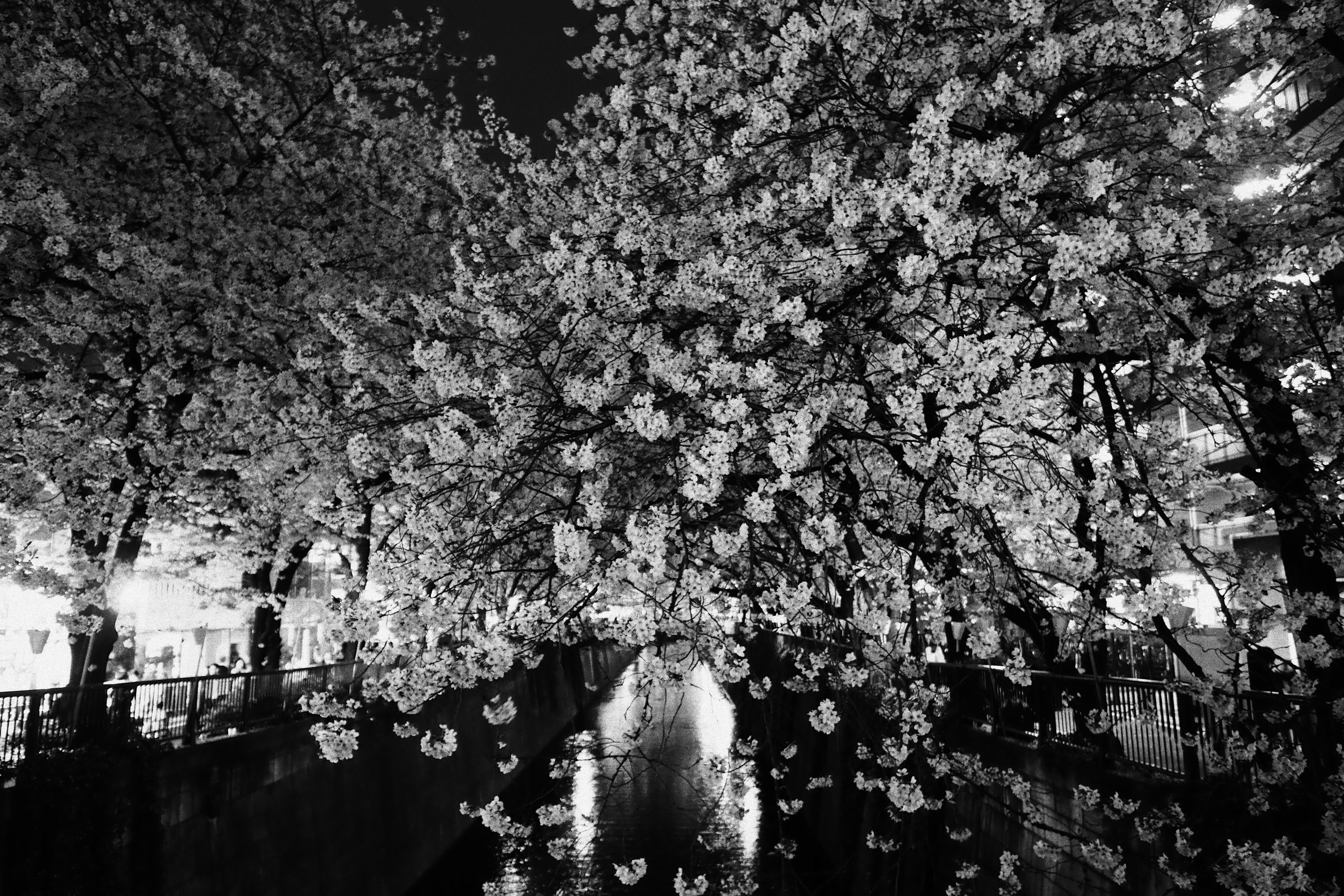 Japan Monochrome Photography Branch Cherry Blossom Pen Spring Tokyo Olympus Jp Tree Flower Plant