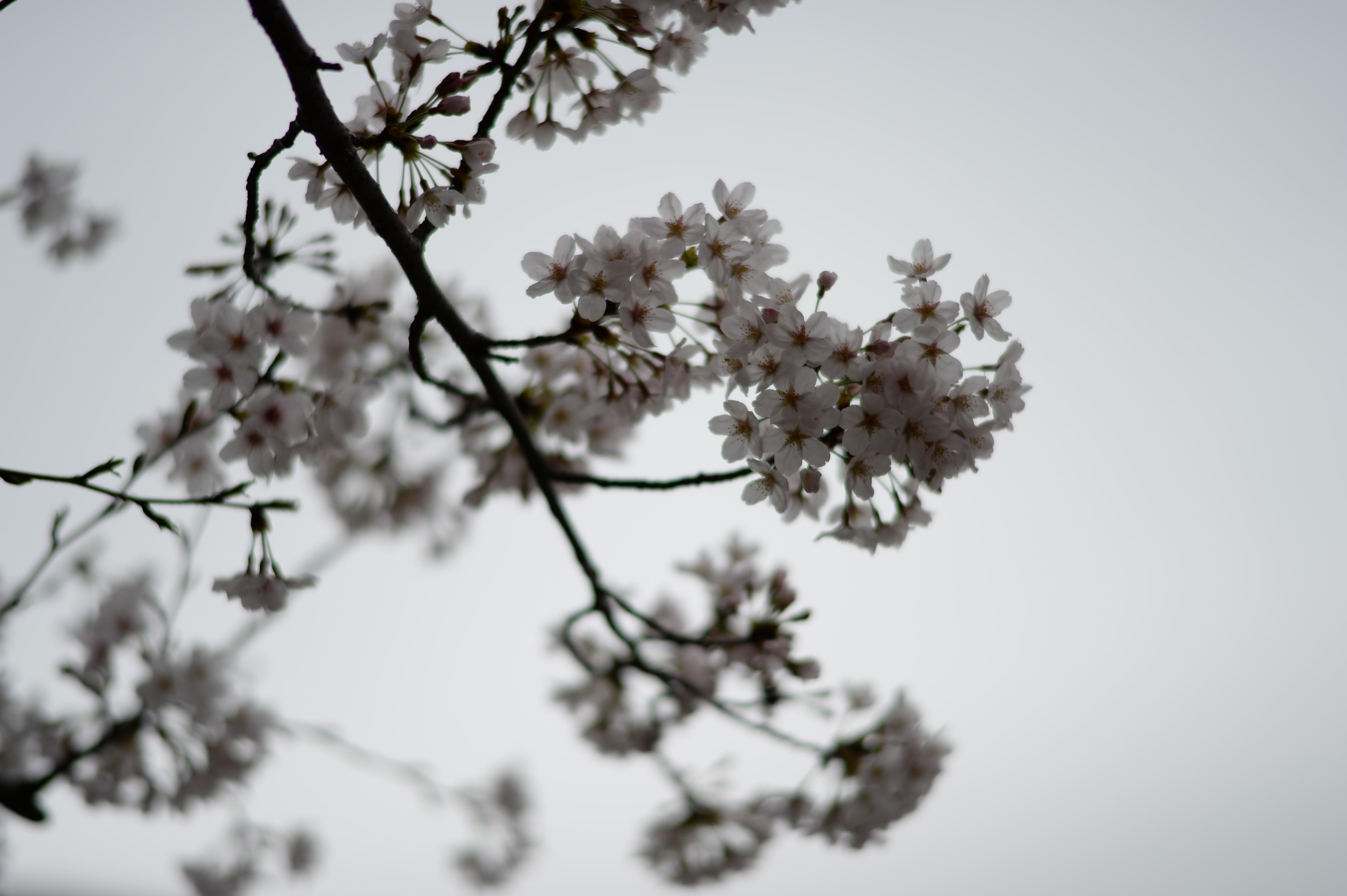 Fond D Cran Japon Monochrome Neige Hiver Branche Fleur De
