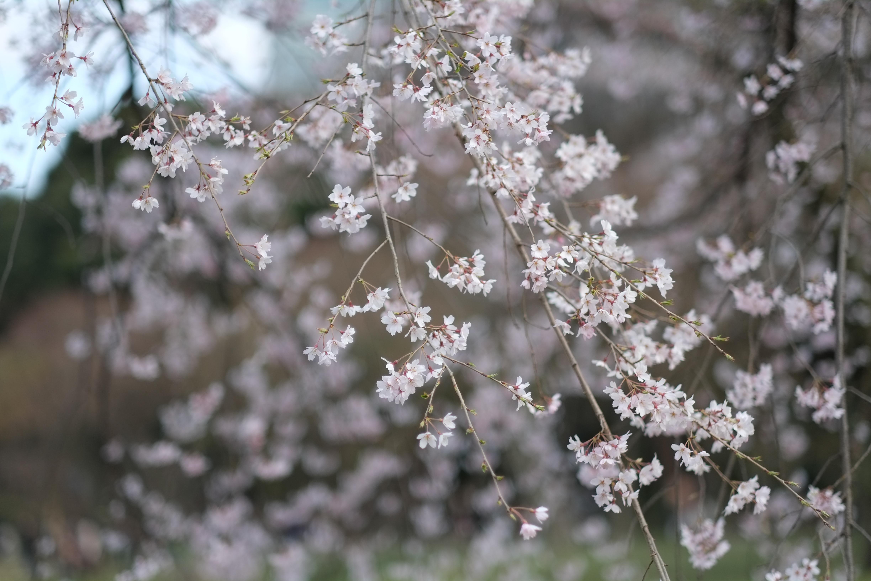 Fond d 39 cran japon la nature hiver branche gel fleur de cerisier printemps tokyo gel - Fleurs en hiver ...