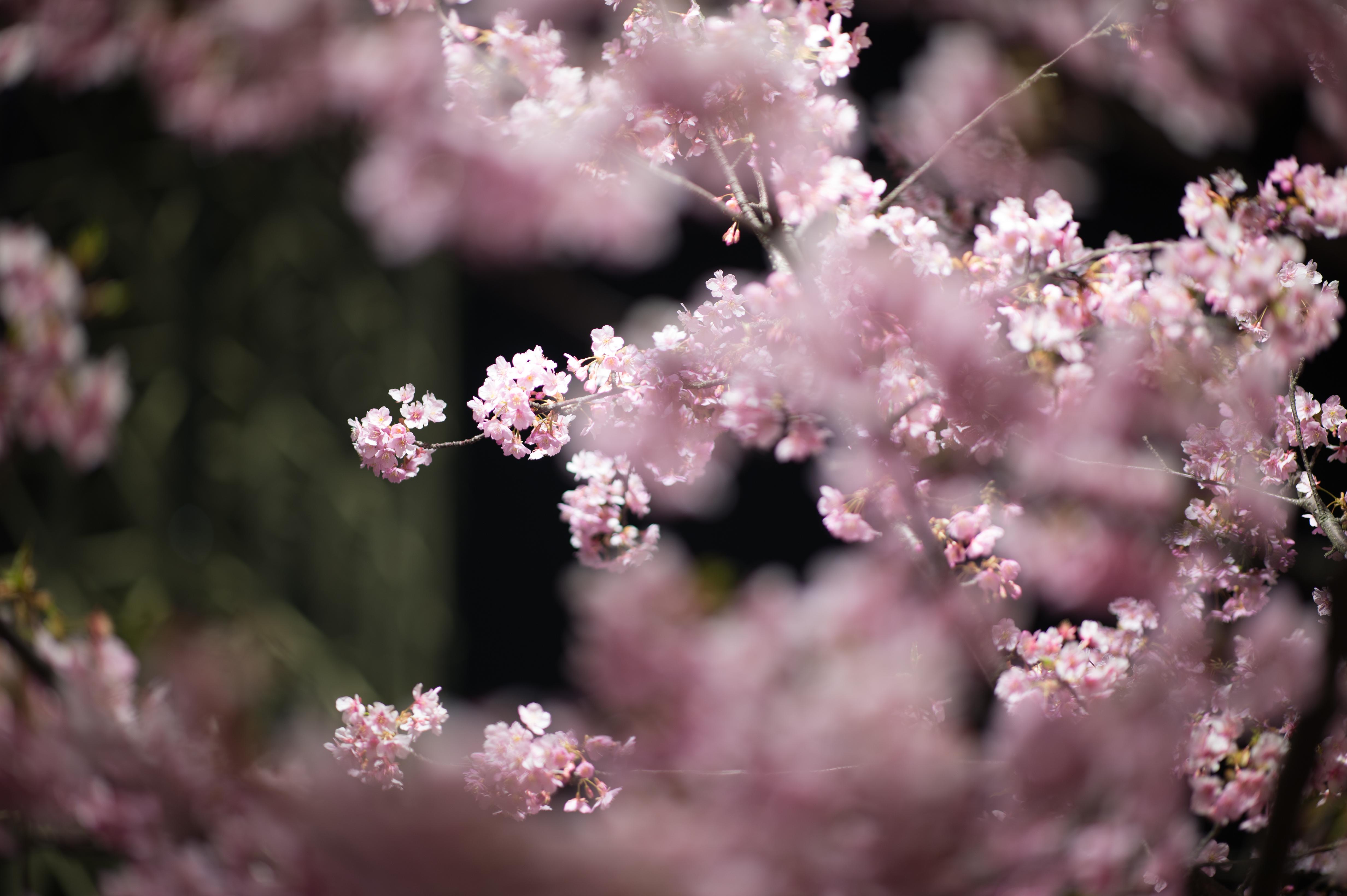 Must see Wallpaper Night Cherry Blossom - Japan-night-architecture-nature-branch-tower-cherry-blossom-Nikon-blossom-pink-spring-Tokyo-Jp-Skytree-nikkor-flower-illuminated-plant-cherryblossom-illumination-flora-petal-landmark-tokyoskytree-afs105mmf14eed-afsnikkor105mmf14eed-df-miyabi-botany-flowering-plant-shrub-macro-photography-487756  Snapshot.jpg
