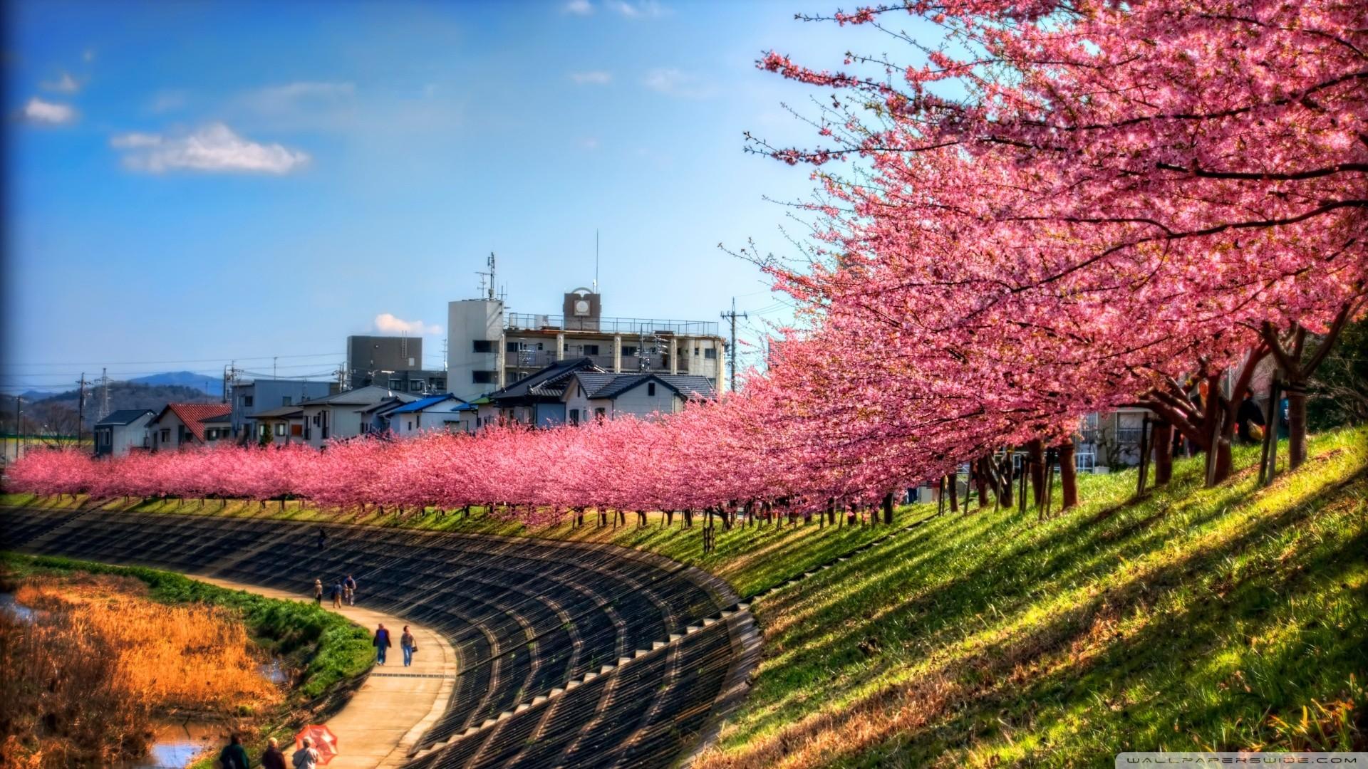 Fond d 39 cran japon des arbres paysage ciel fleur de cerisier rose chemin arbre l - Arbre rose japon ...