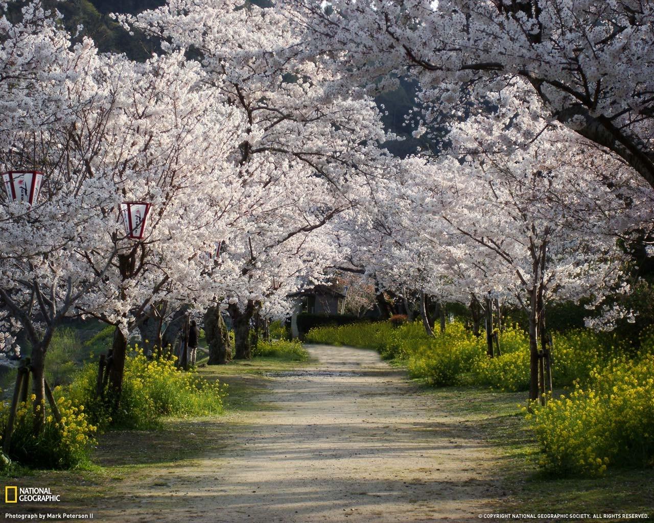 Fondos De Pantalla : Japón, Árboles, Naturaleza, Flor De