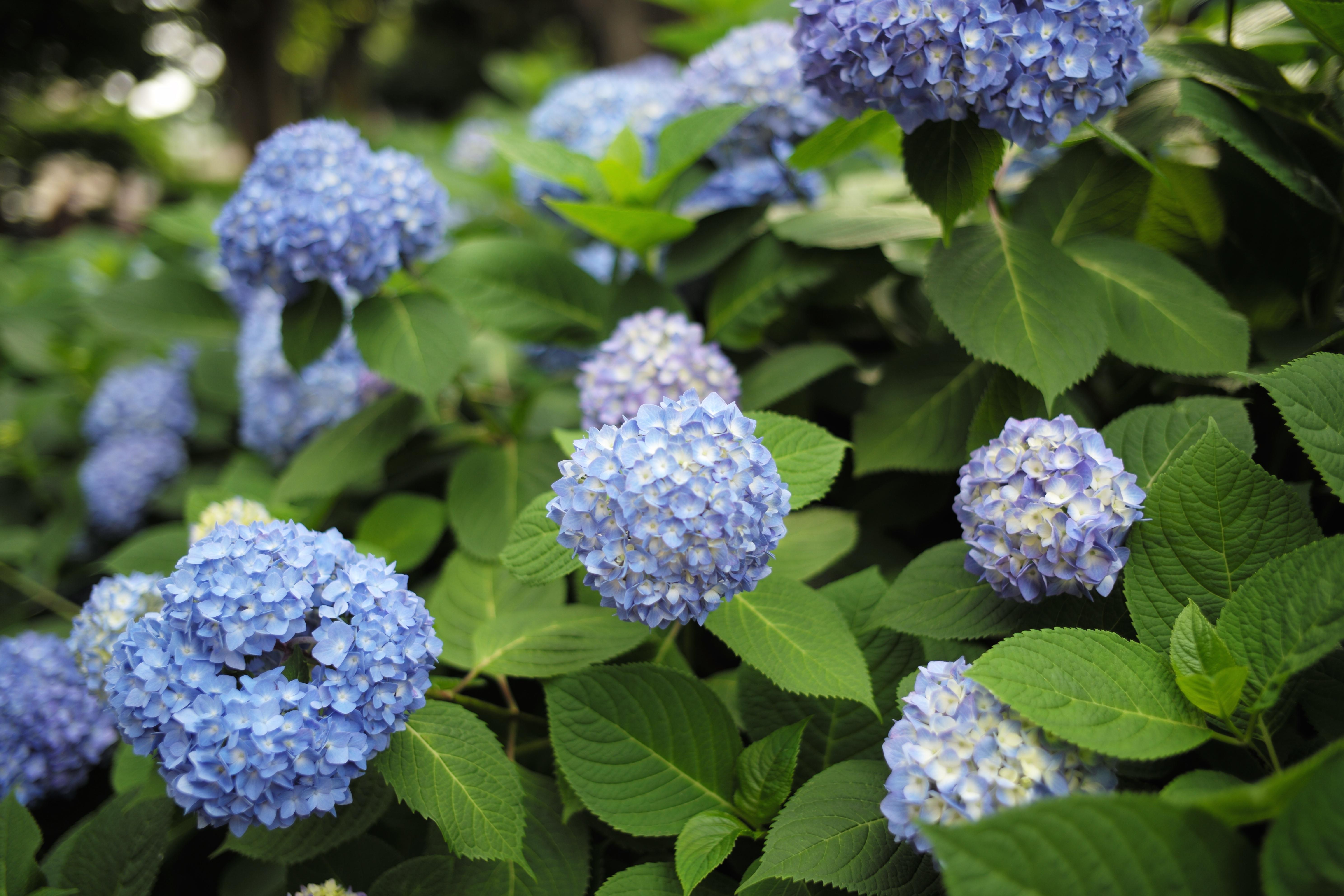 fondos de pantalla leica tokio hortensia metro flor
