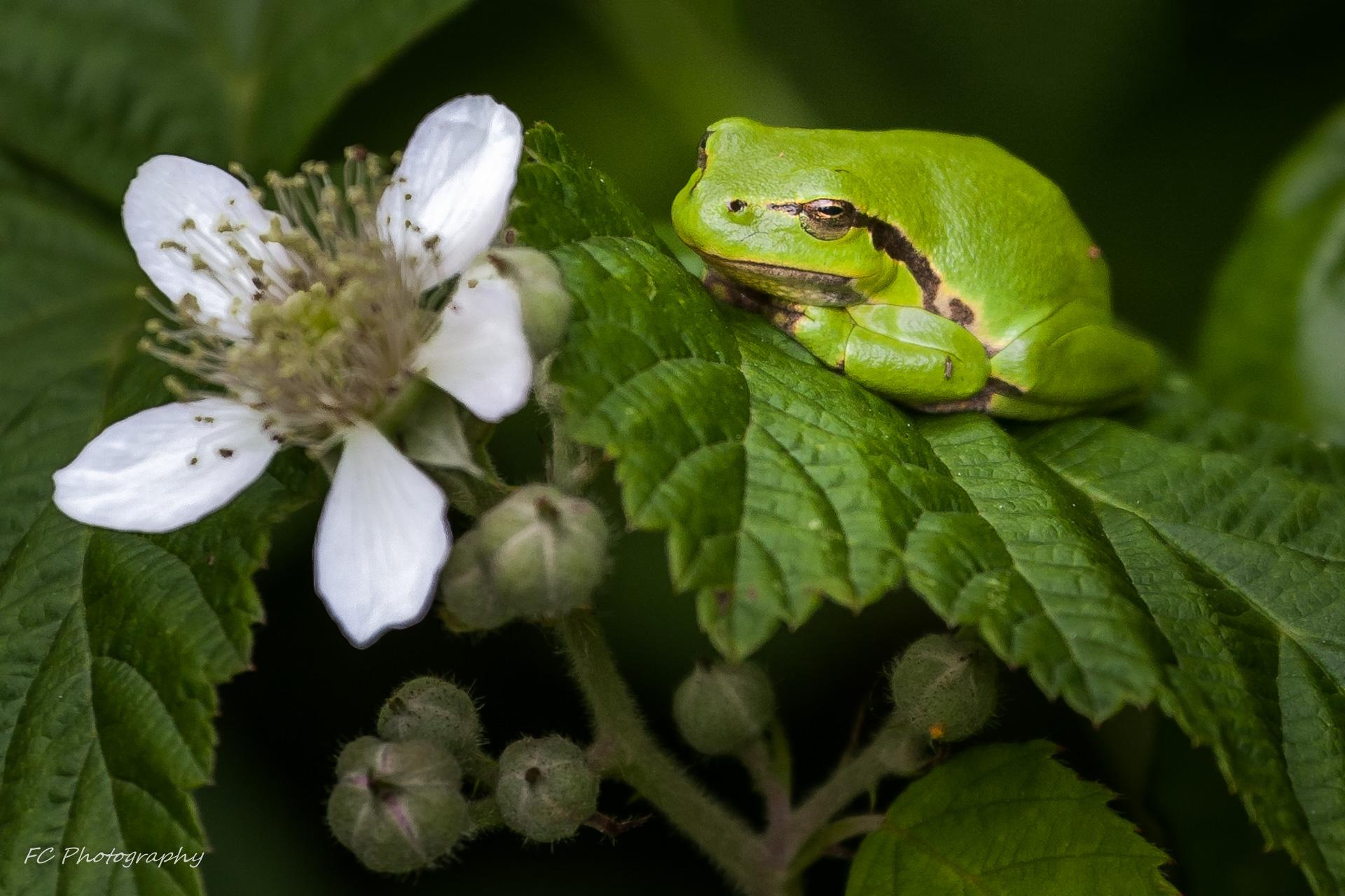 Wallpaper Netherlands Animal Animals Frogs Nl