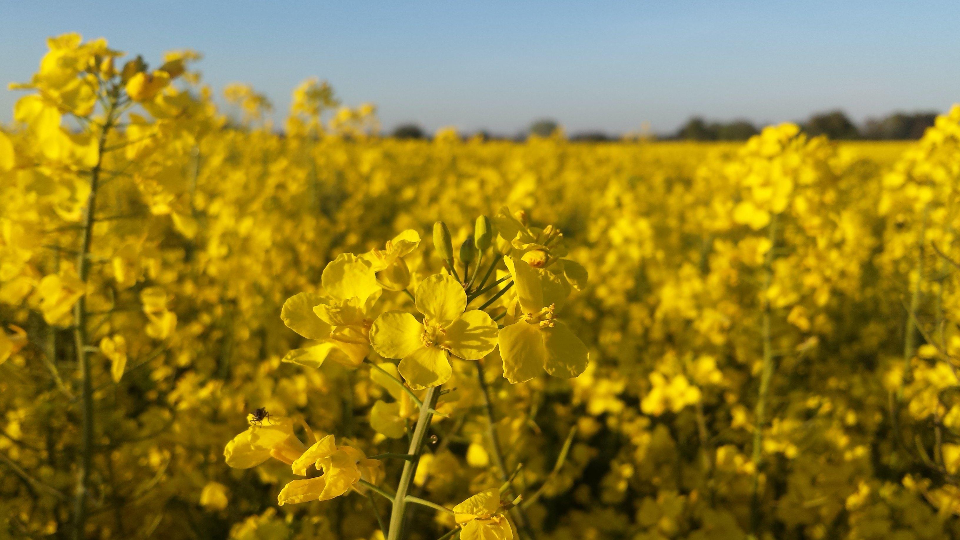 Fond d 39 cran colza jaune canola plante de moutarde for Plante jaune
