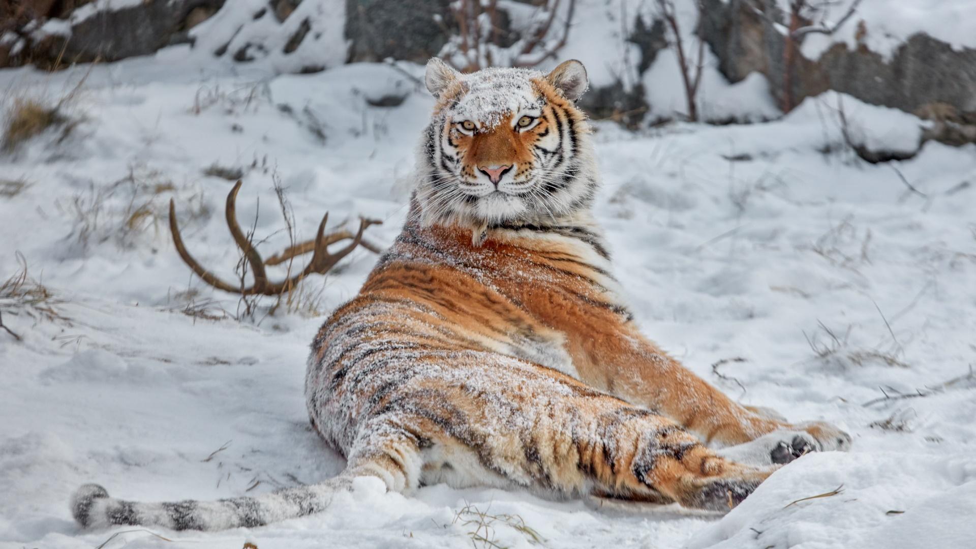 Wallpaper Siberian Tiger Snow Covered Animals Big Cats