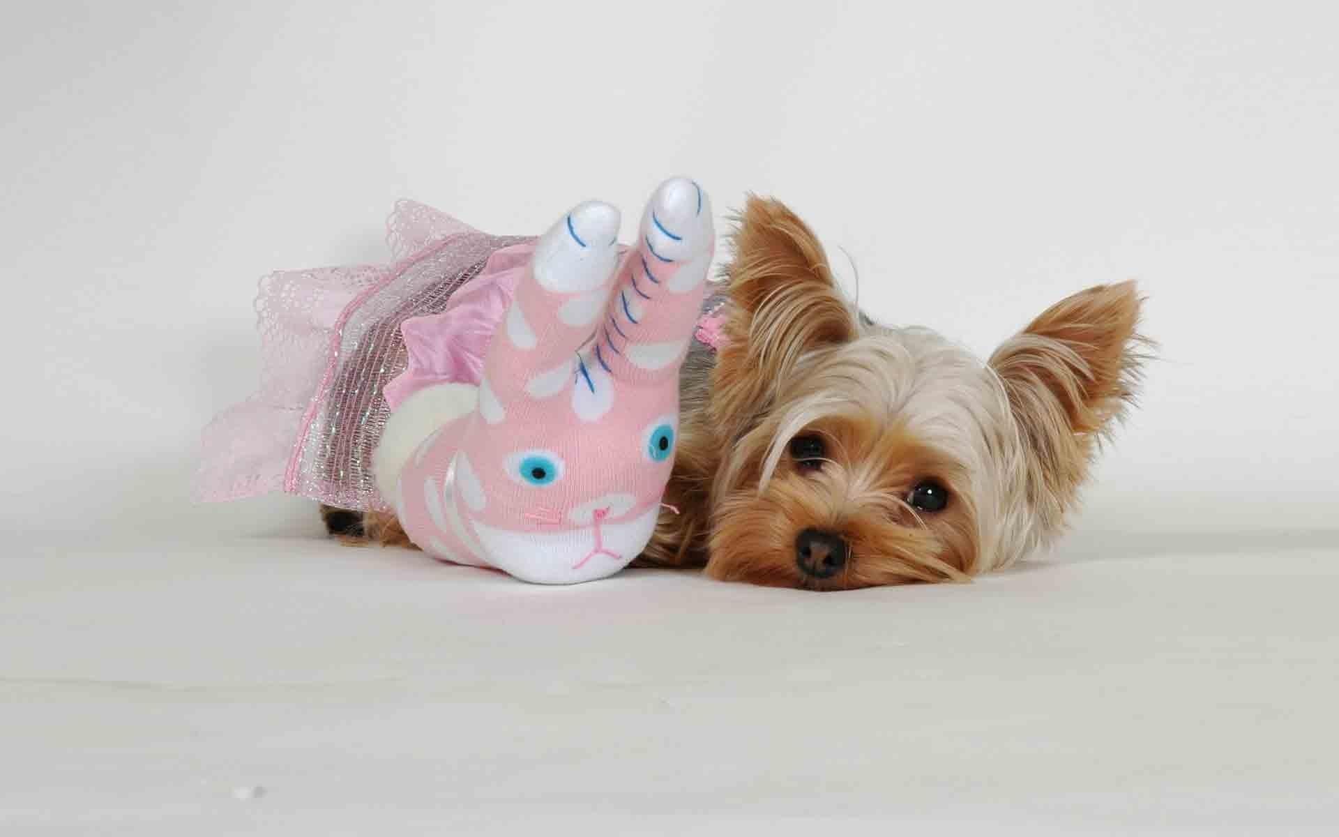 Fond D Ecran Yorkshire Terrier Jouet Visage Duveteux