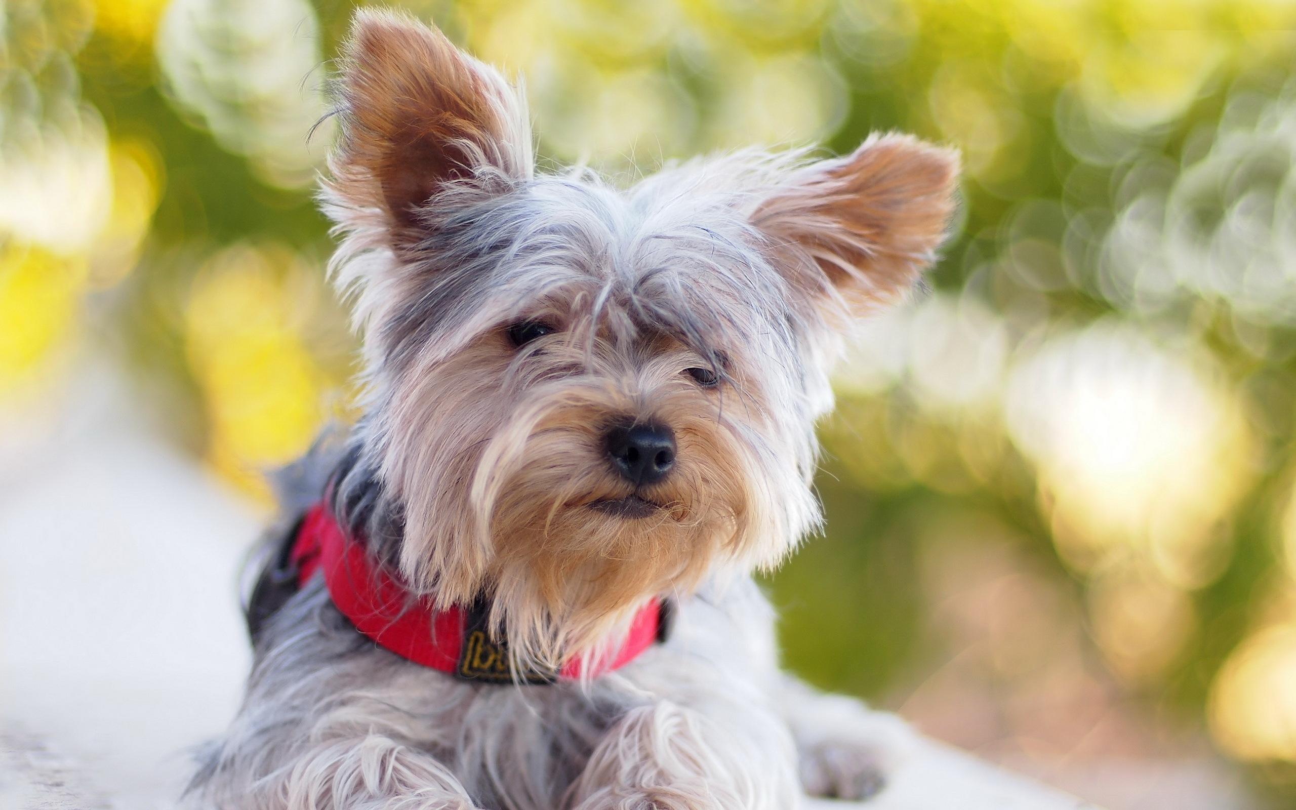 Fond D Ecran Yorkshire Terrier Collier De Chien Mensonge