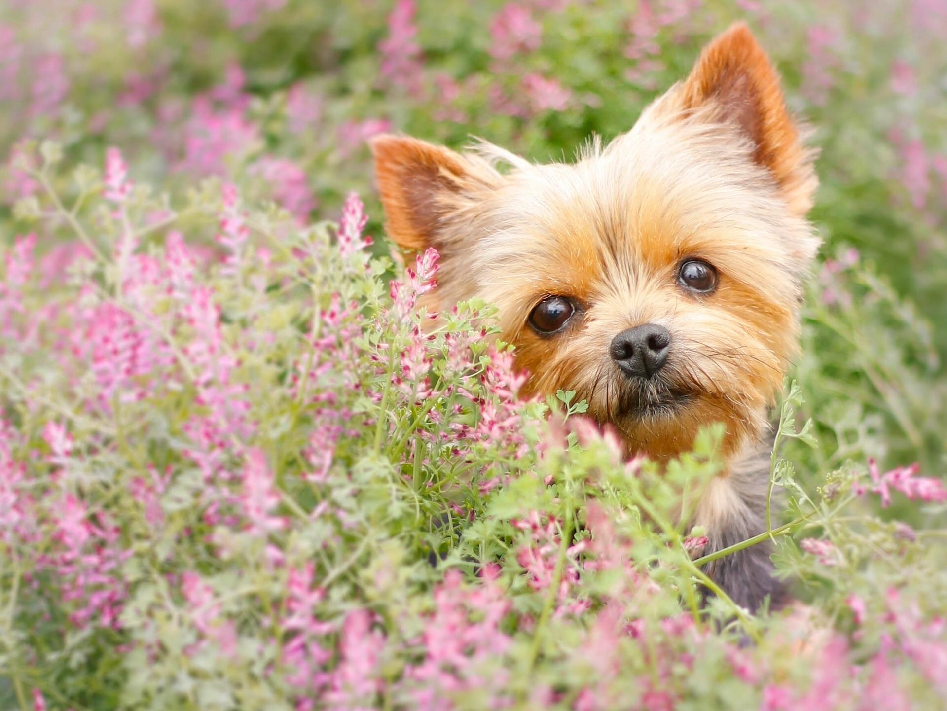 Fond D Ecran Yorkshire Terrier Museau Chiot Fleurs