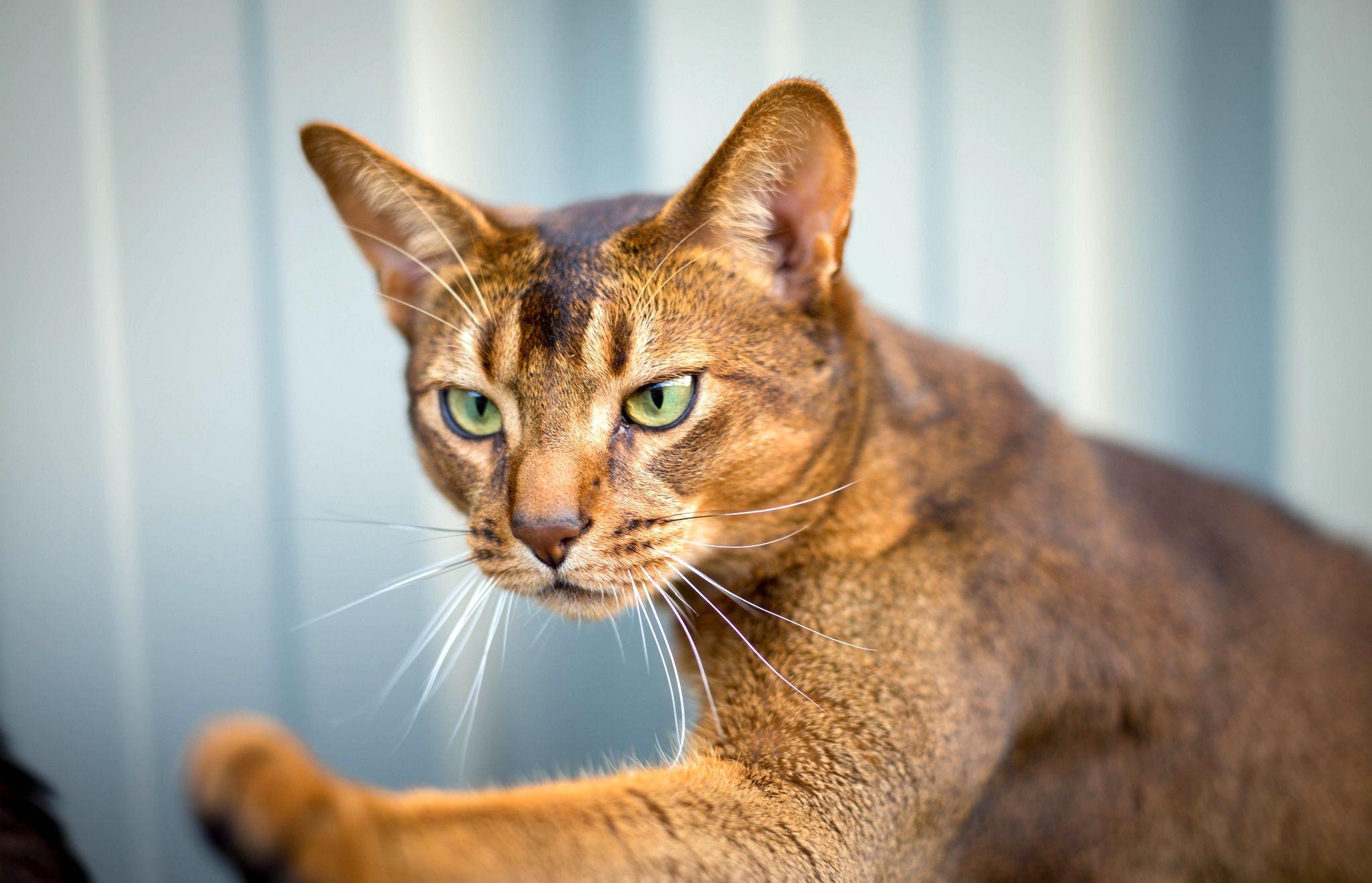 картинки кумерийские кошки