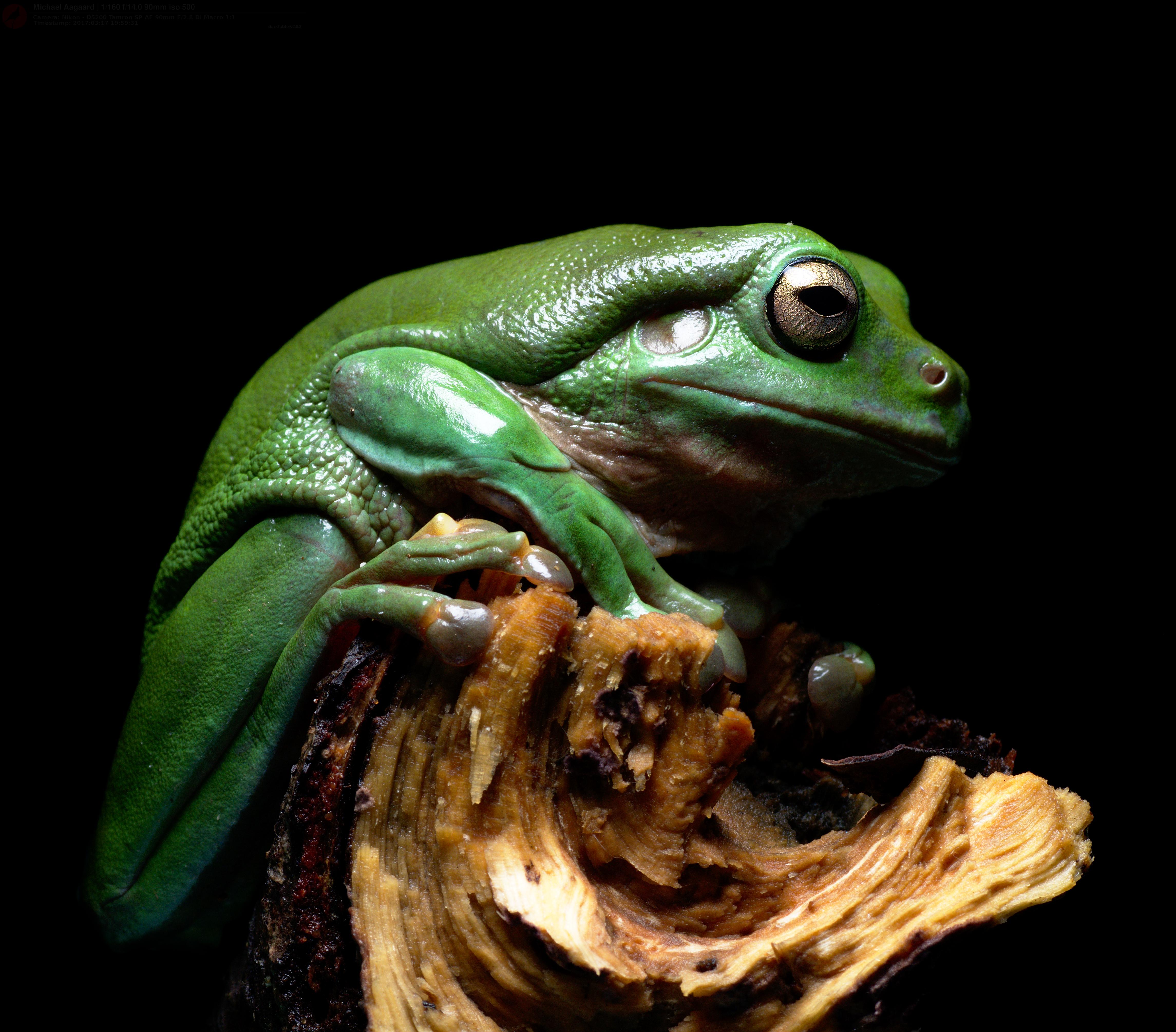 Hintergrundbilder : Amphibie, Amphibien, Australien, australisch ...