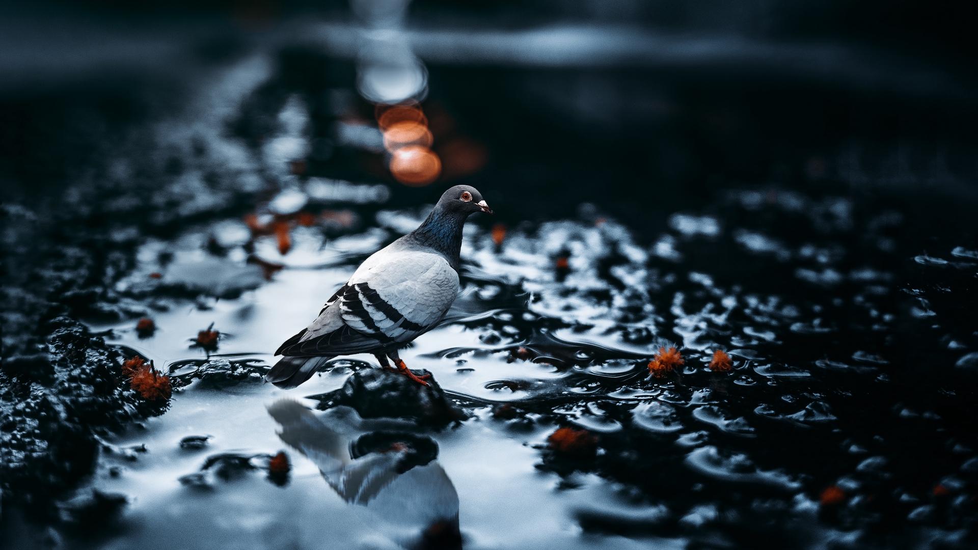 Wallpaper Animals Birds Photography Pigeons Wet Blurs