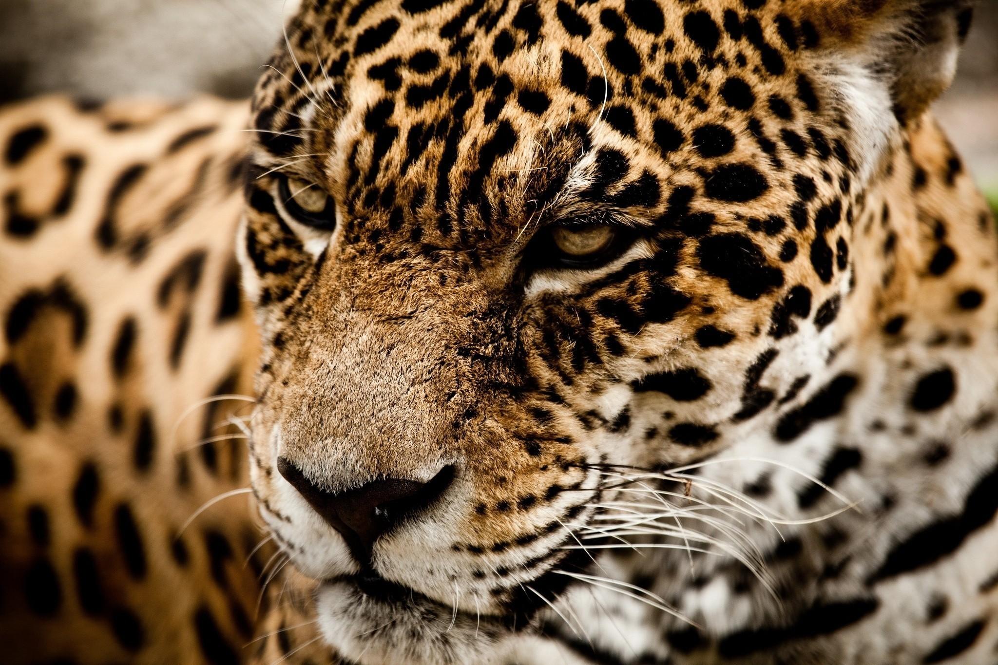 Фото с леопардом на аву в