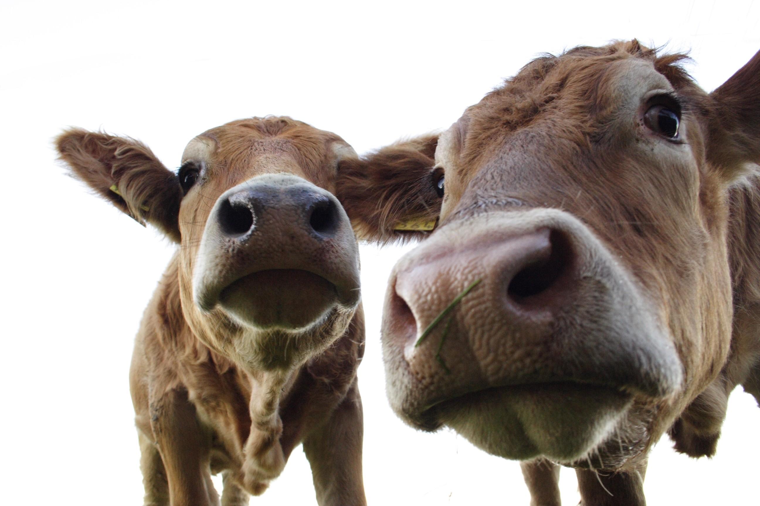 Fond D Ecran Animaux Vache Tete Corne Le Betail Comme Un Mammifere Mustang Horse Bete De Somme 2592x1728 Matrizendesign 94488 Fond D Ecran Wallhere