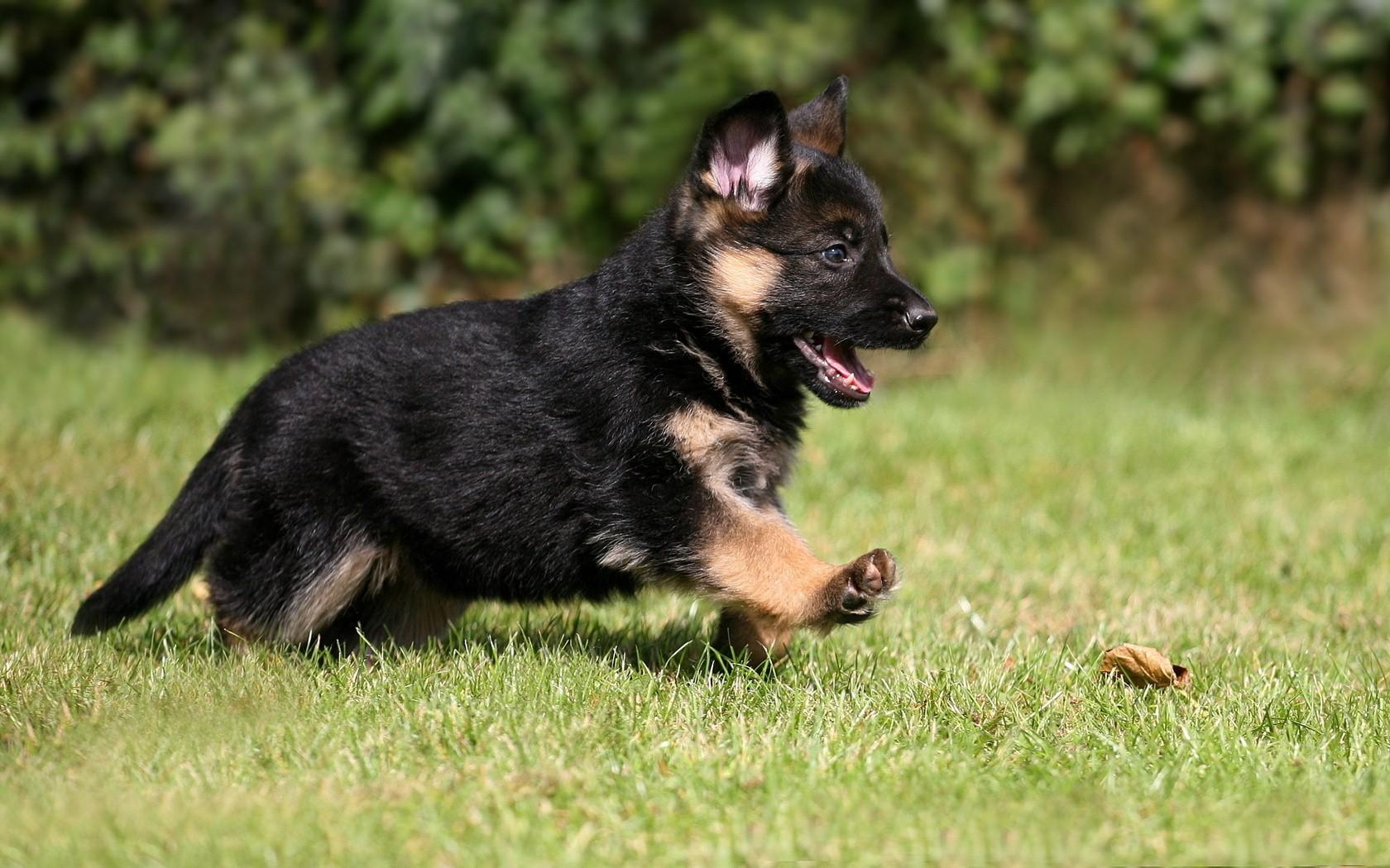 hintergrundbilder tiere deutscher sch ferhund welpen wirbeltier hund wie s ugetier. Black Bedroom Furniture Sets. Home Design Ideas