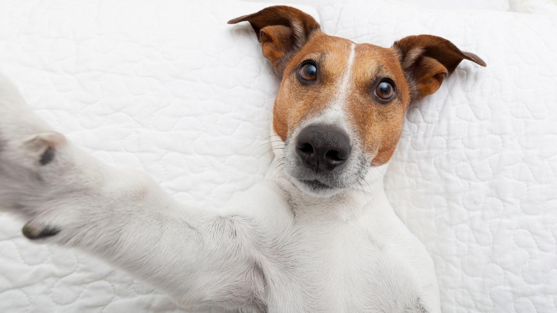 Hintergrundbilder : Tiere, Jack Russell Terrier, Wirbeltier, Hund ...