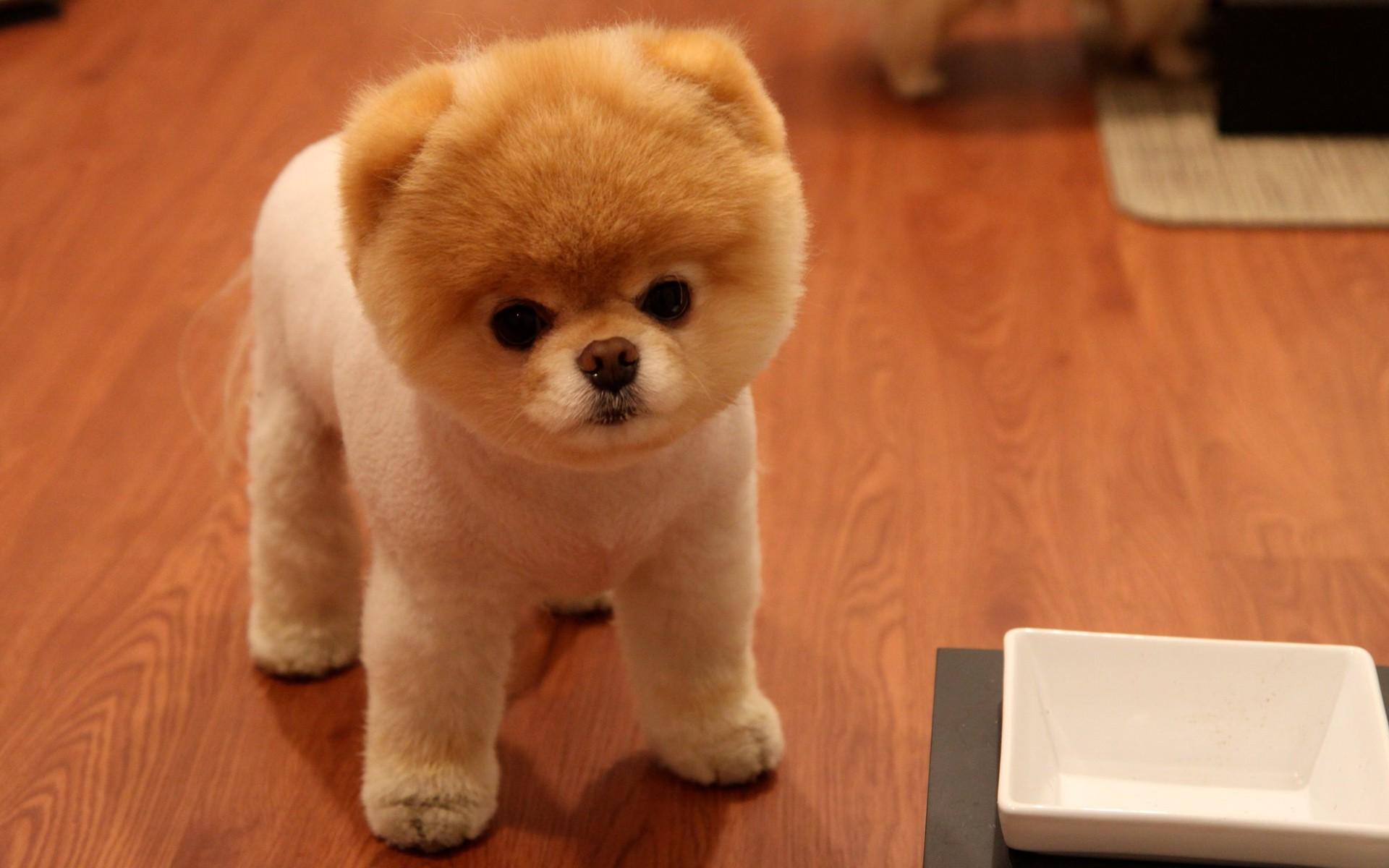 動物 犬 ポメラニアン 子犬 哺乳類 1920x1200 px 脊椎動物 哺乳類のような犬 犬の