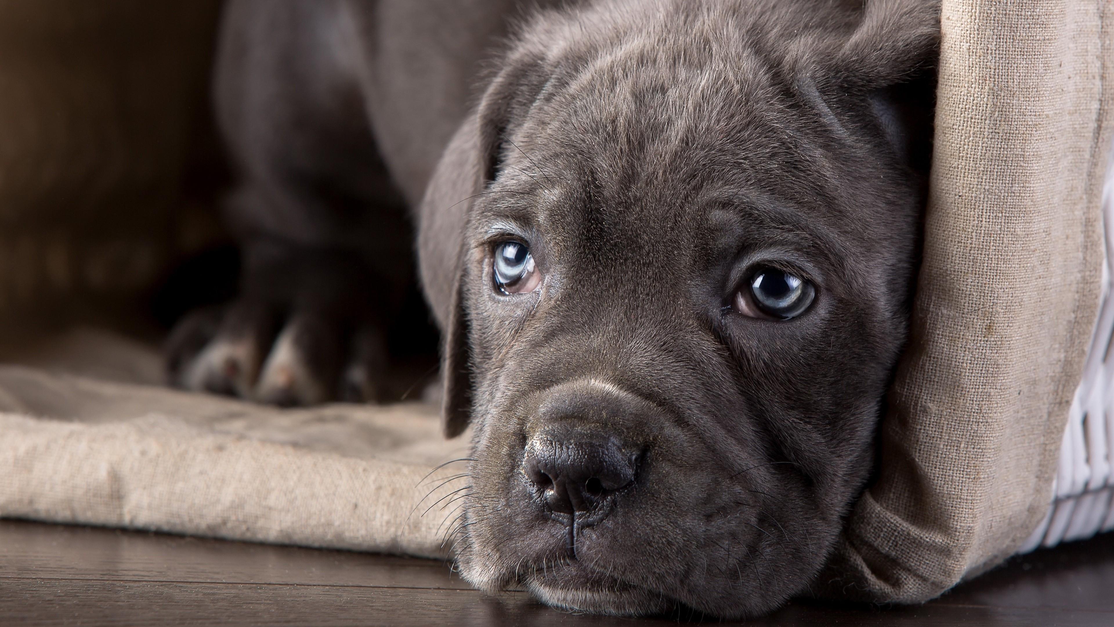 Sfondi Animali Cuccioli Cane Corso Cucciolo Vertebrato Grugno