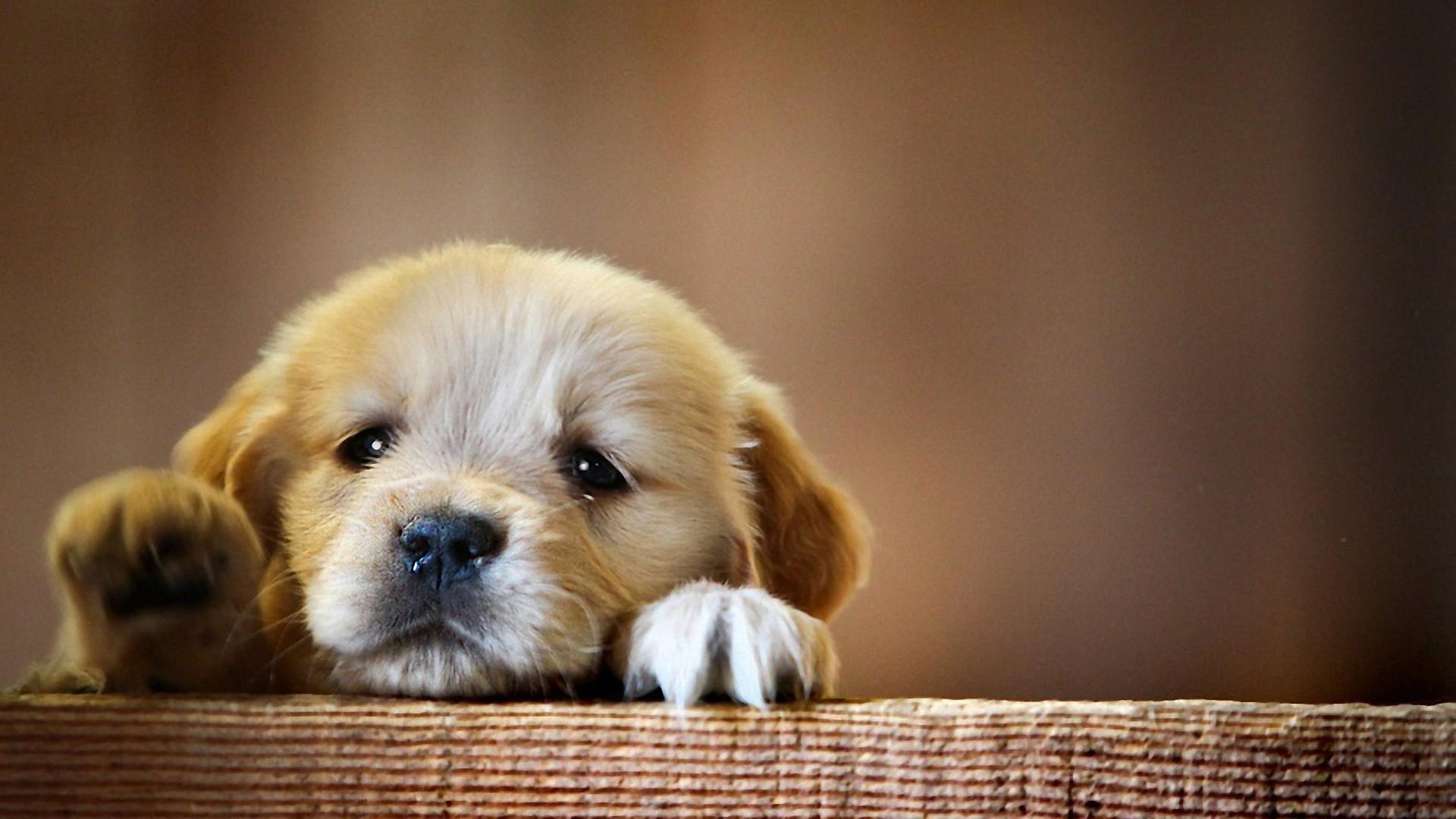 デスクトップ壁紙 子犬 1920x1080 Px 脊椎動物 哺乳類のような犬