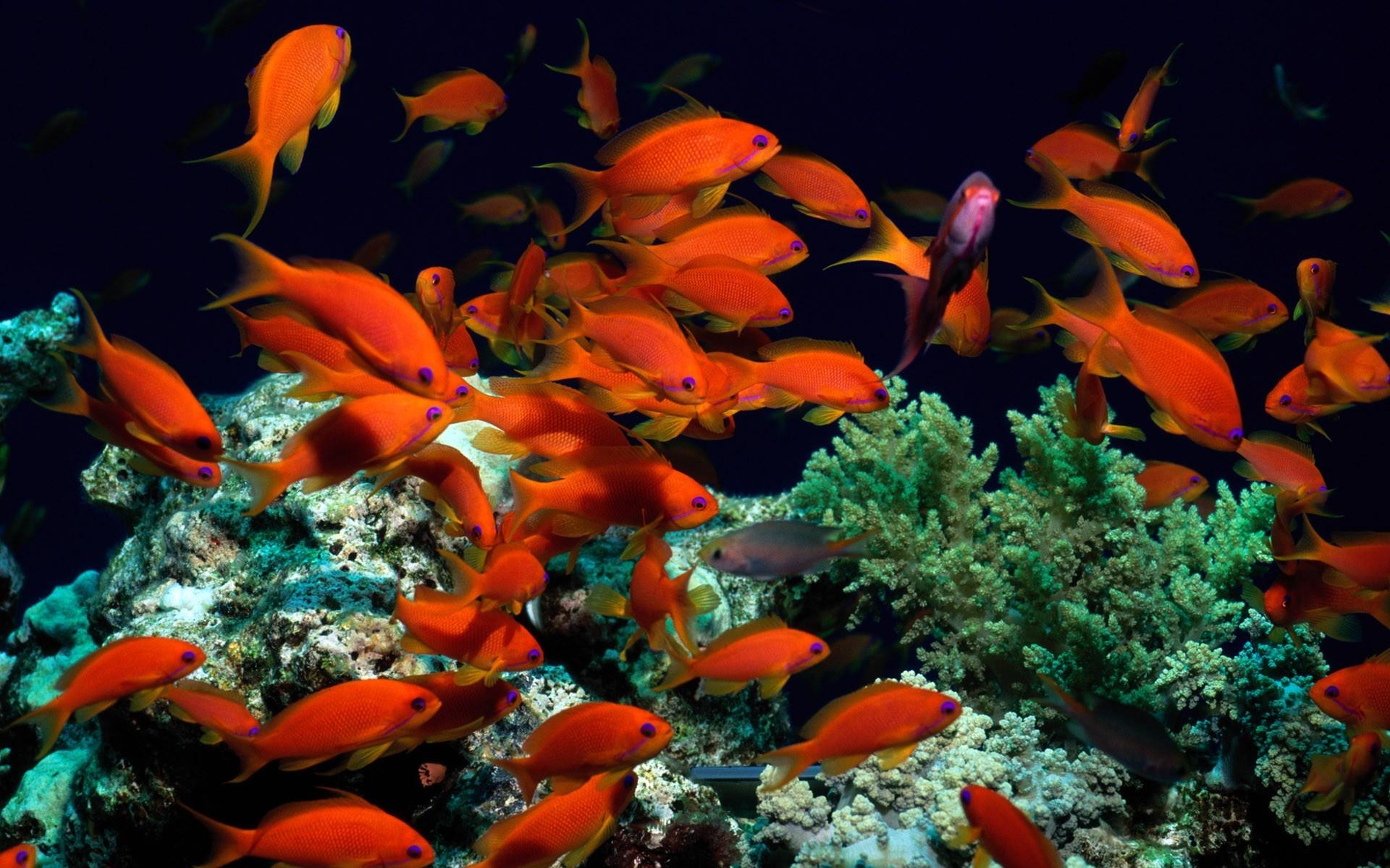 Fond d 39 cran animaux sous marin r cif de corail for Poisson rouge reste fond aquarium
