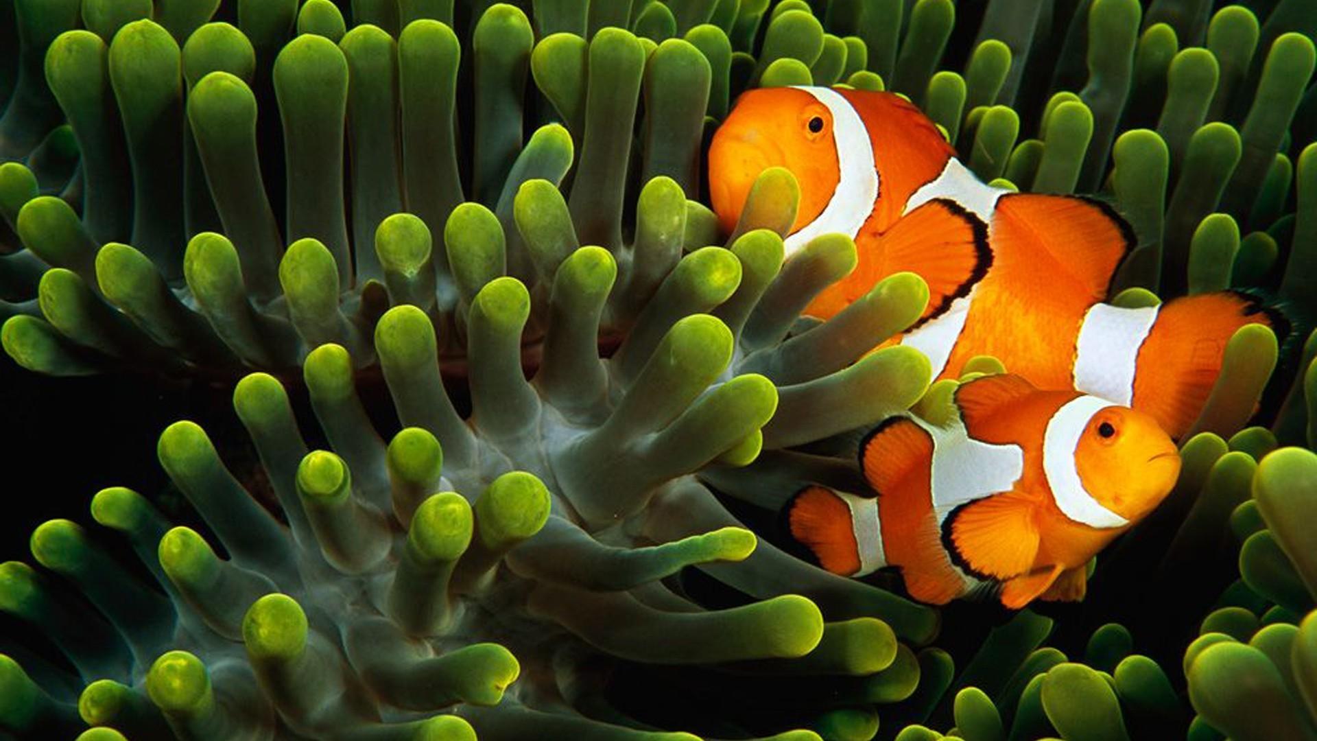 Wallpaper : animals, underwater, coral reef, clownfish, 1920x1080 px