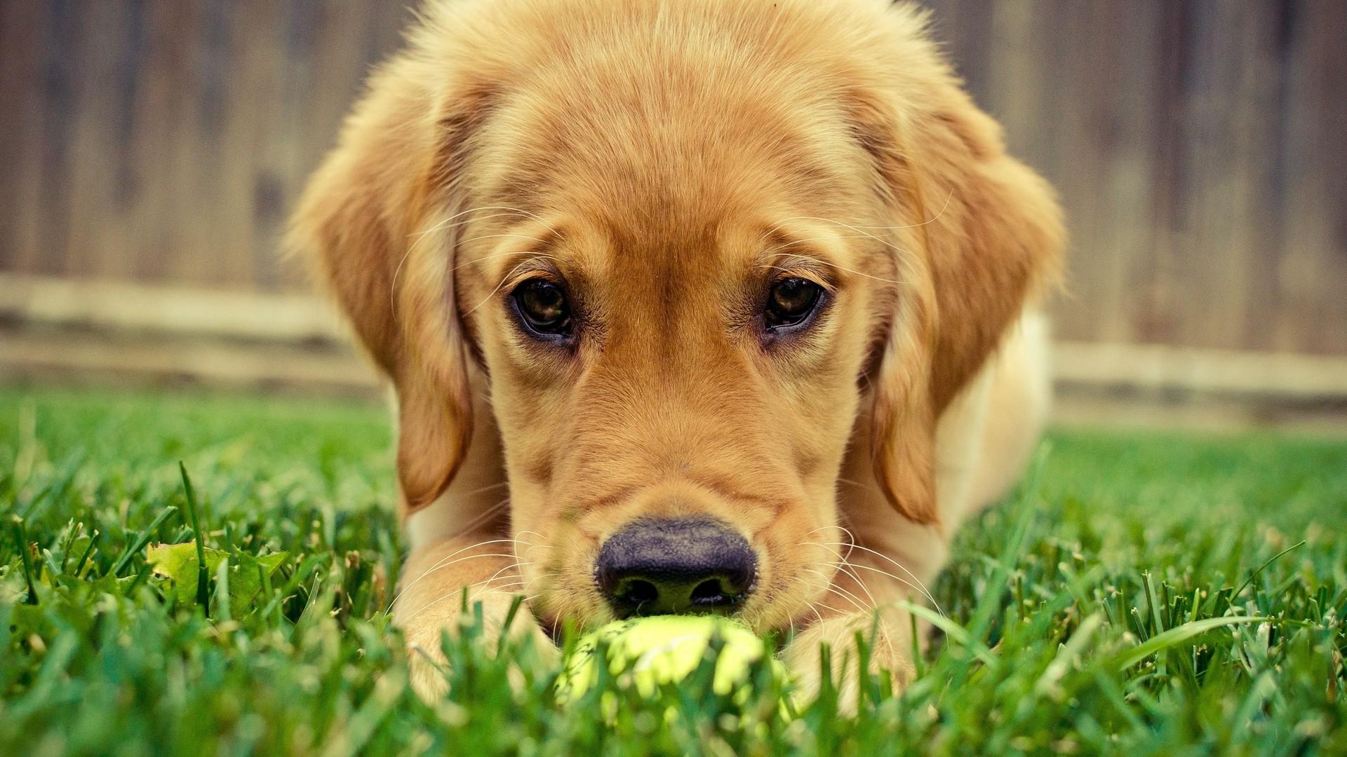 Wallpaper Animals Grass Nose Puppies Labrador Retriever Puppy 1920x1080 Px Vertebrate Snout Dog Like Mammal Golden Retriever Dog Breed 1920x1080 728319 Hd Wallpapers Wallhere