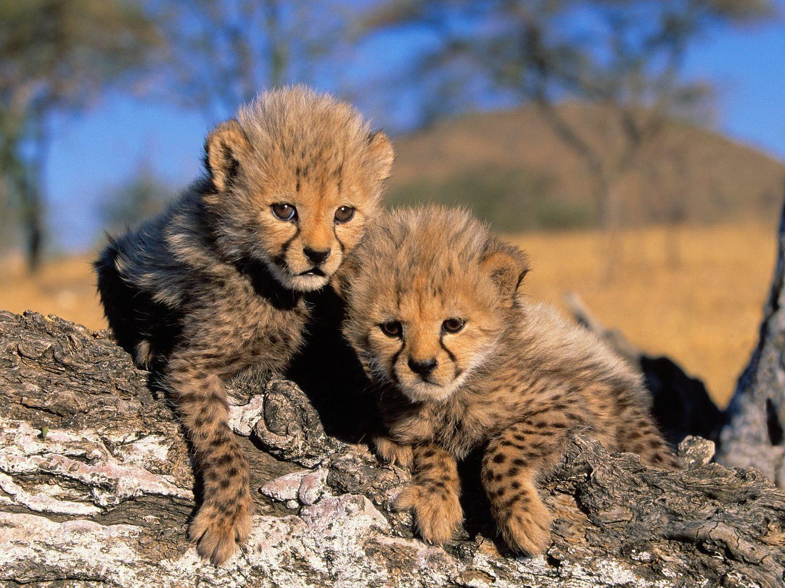 Sfondi ghepardo cucciolo